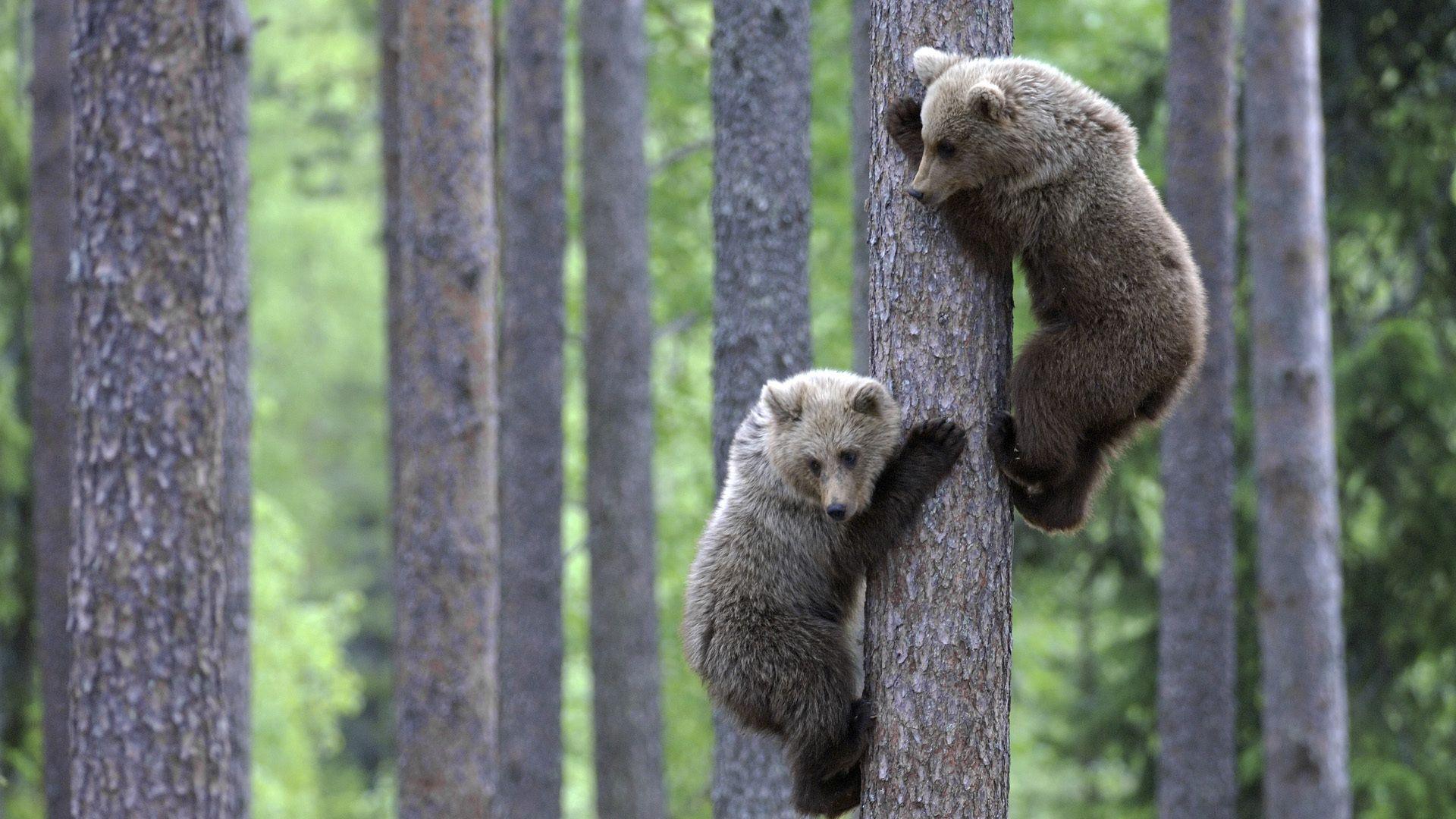 56494 Заставки и Обои Медведи на телефон. Скачать Медведи, Животные, Лес, Пара, Дерево, Детеныши, Лазать картинки бесплатно