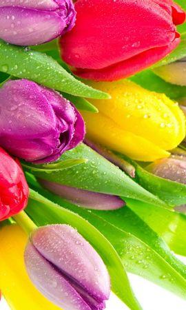38180 descargar fondo de pantalla Plantas, Flores, Tulipanes: protectores de pantalla e imágenes gratis