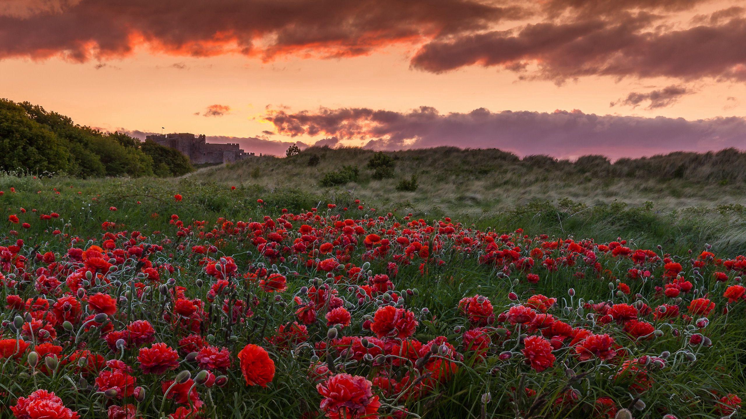 82921 скачать обои Природа, Поле, Маки, Закат, Цветы - заставки и картинки бесплатно