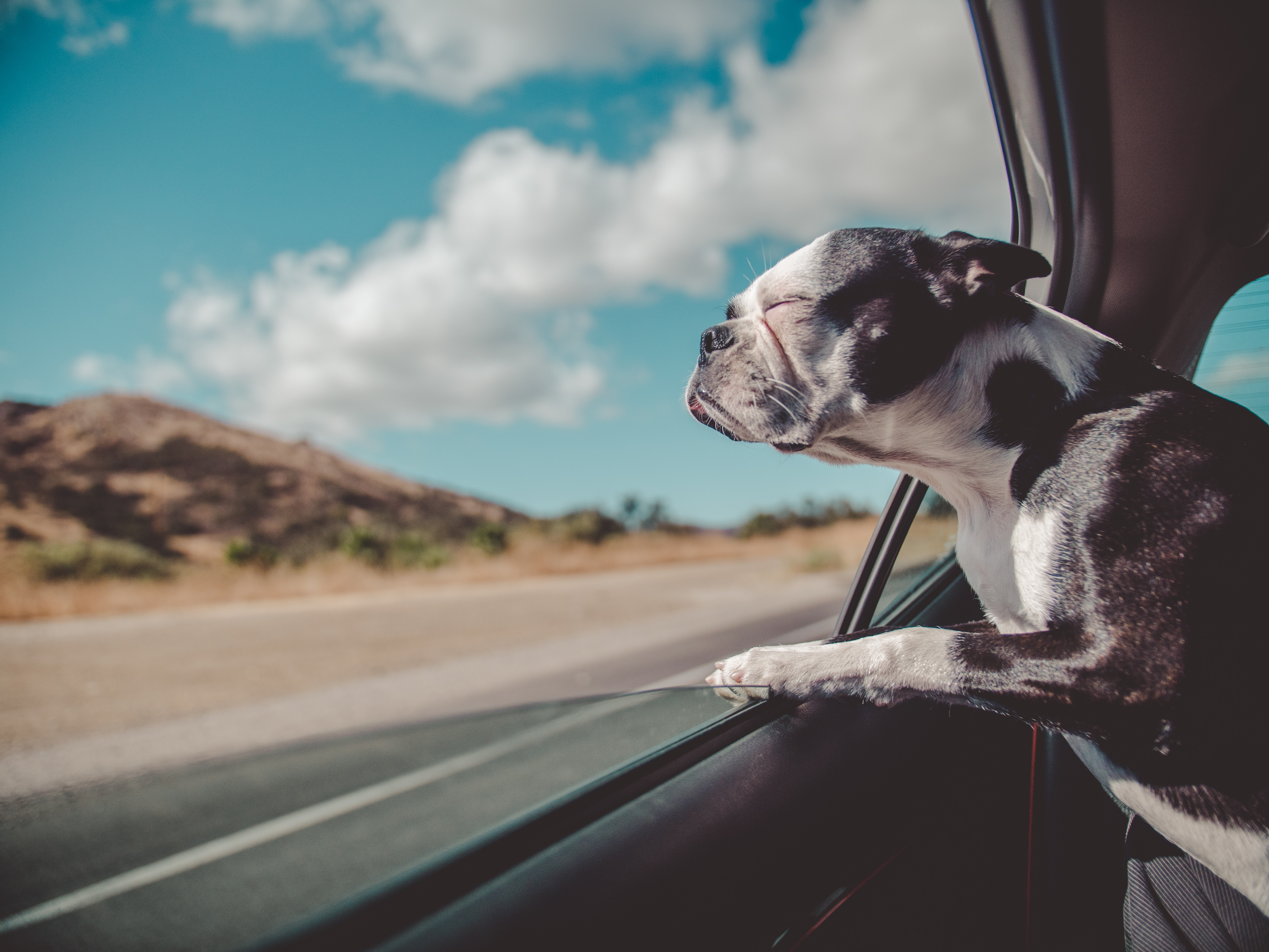 94896 download wallpaper Animals, French Bulldog, Dog, Window, Peek Out, Look Out, Journey screensavers and pictures for free