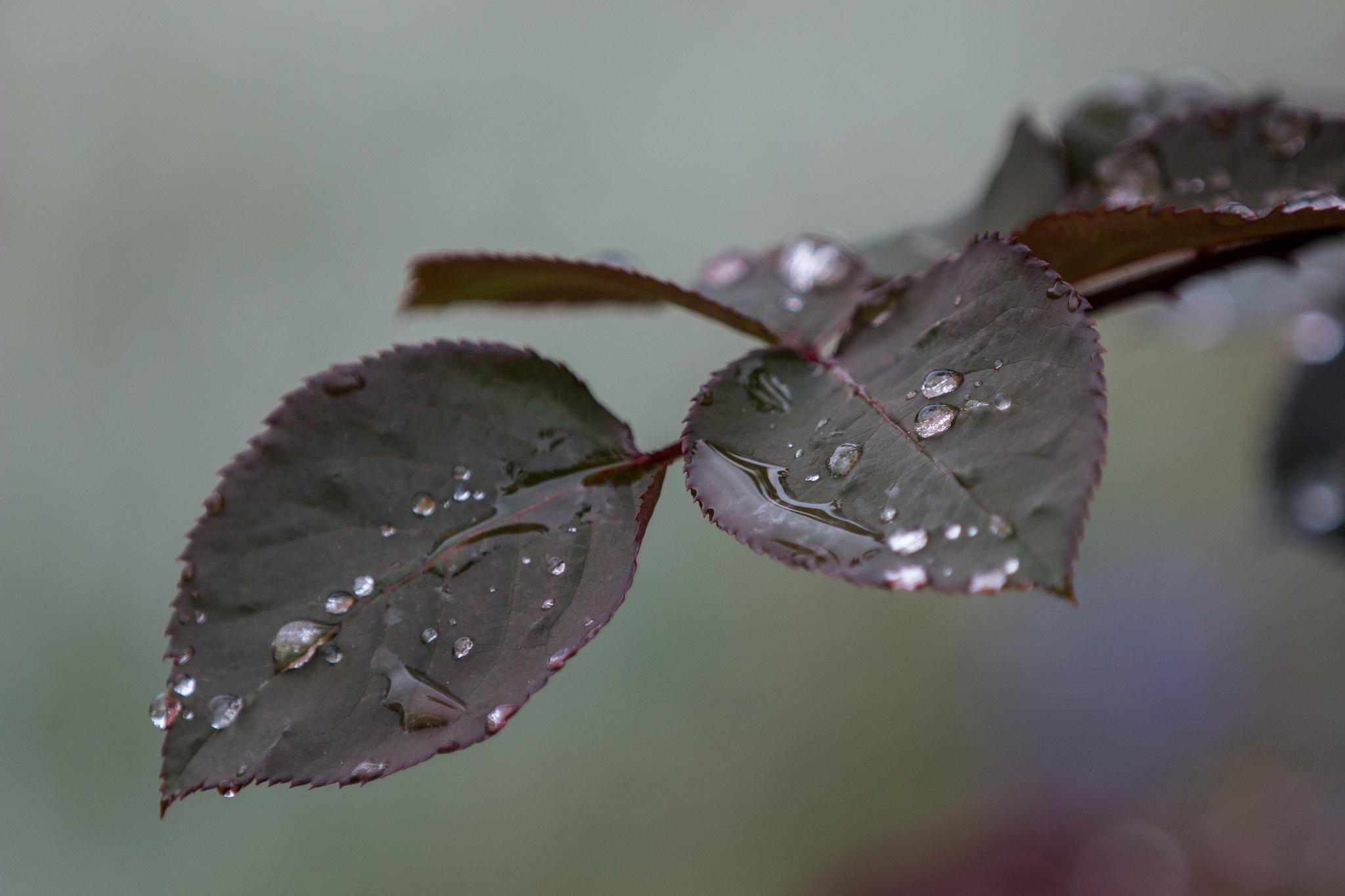 141478 Hintergrundbild herunterladen Blätter, Drops, Makro, Rose, Ast, Zweig - Bildschirmschoner und Bilder kostenlos