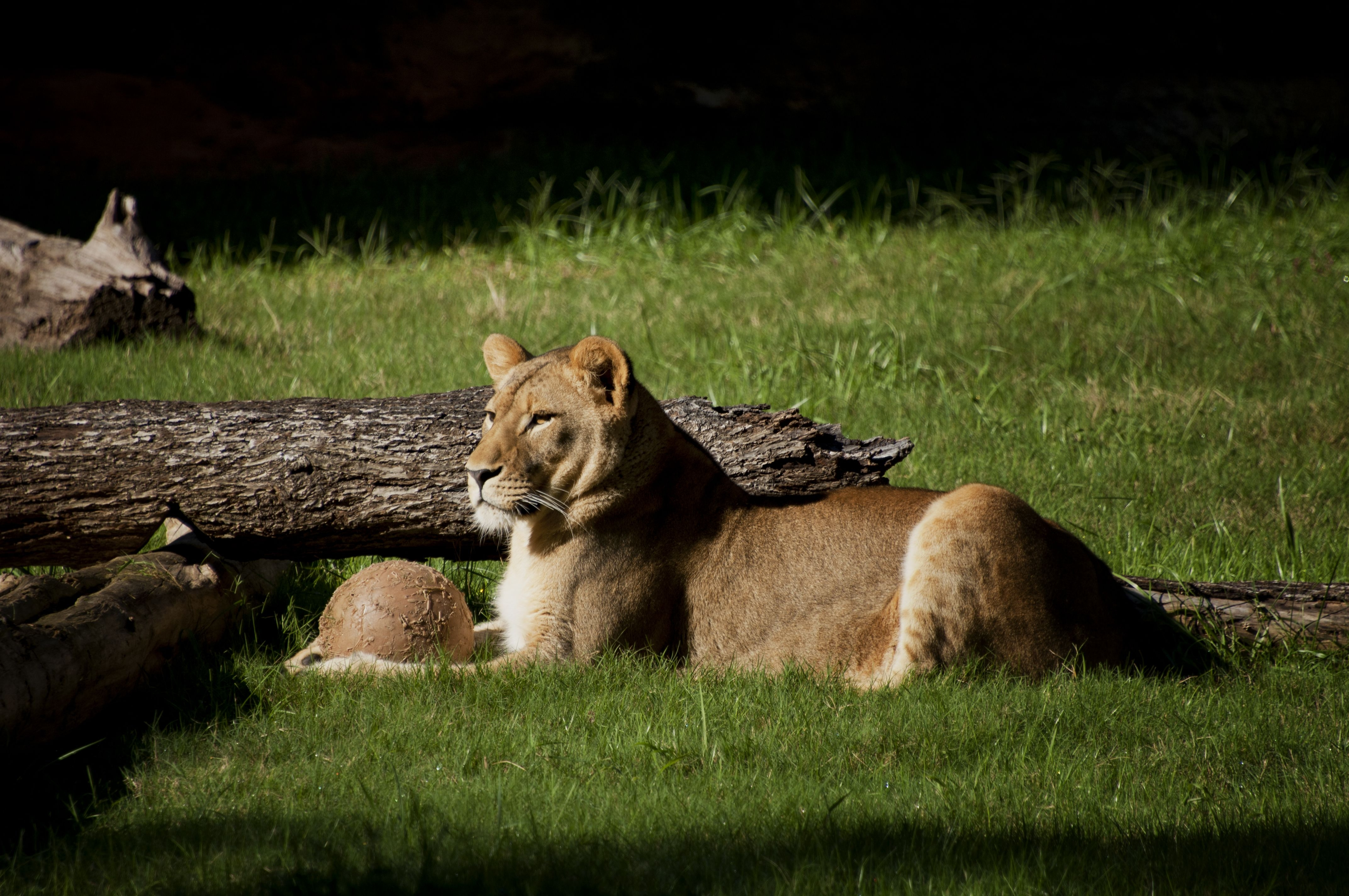 120625 download wallpaper Animals, Lion, Grass, Log, To Lie Down, Lie screensavers and pictures for free