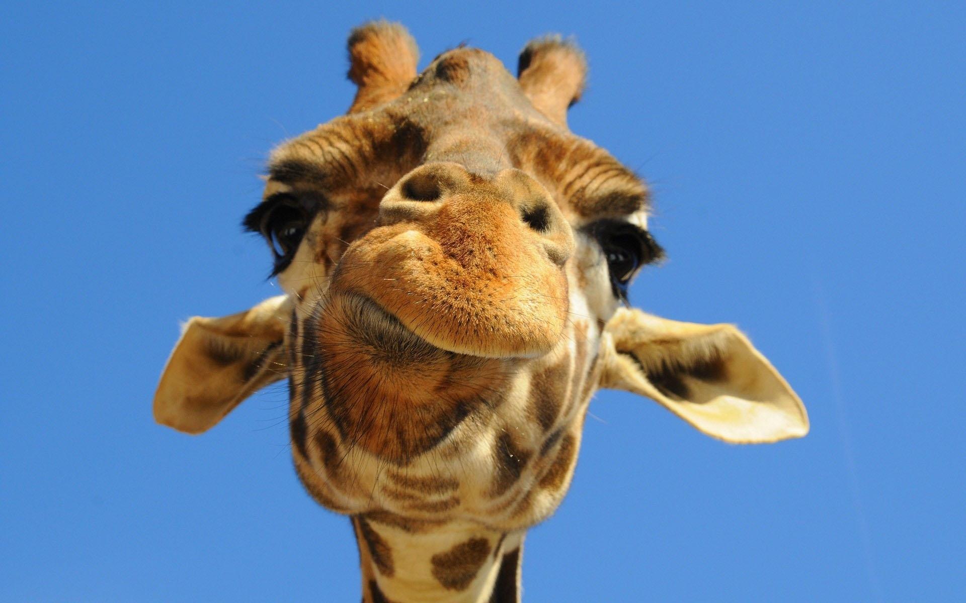 33711 скачать обои Животные, Жирафы - заставки и картинки бесплатно