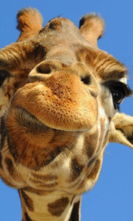 33711 baixar papel de parede Animais, Girafas - protetores de tela e imagens gratuitamente