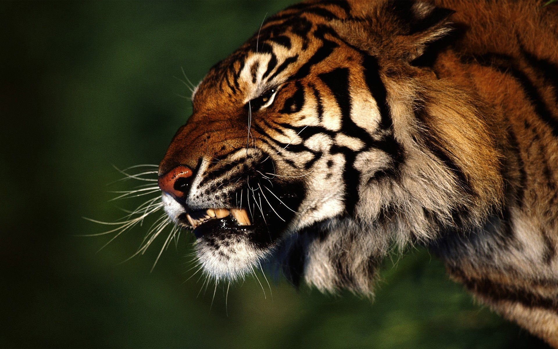 44463 download wallpaper Animals, Tigers screensavers and pictures for free