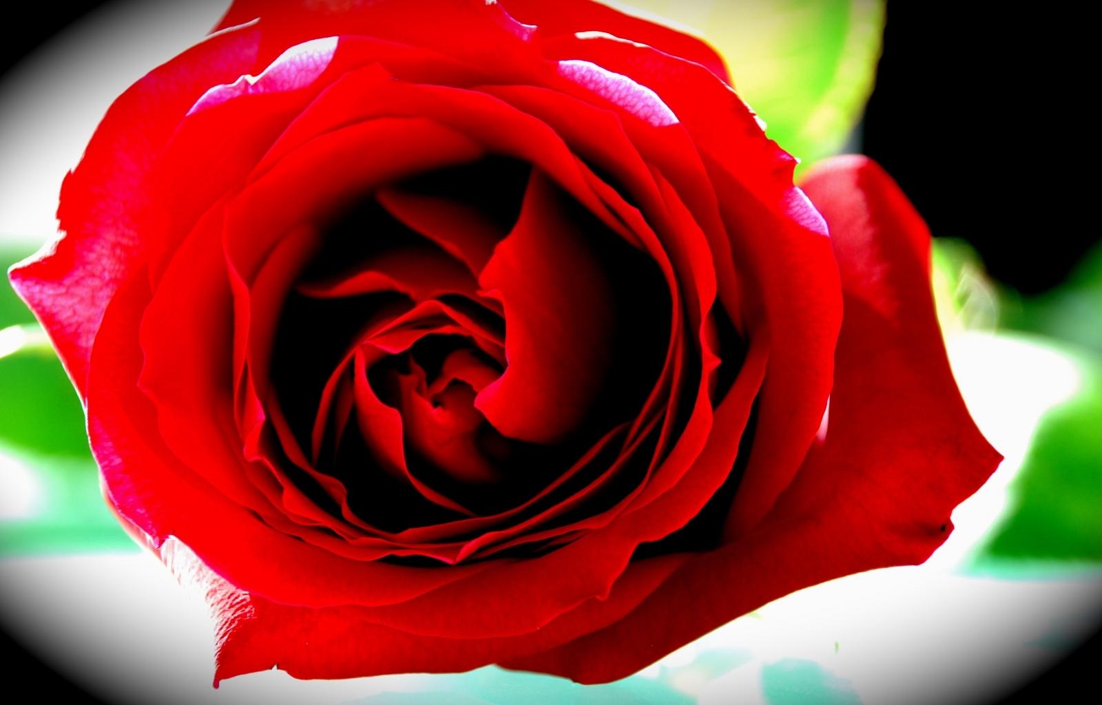 4191 скачать обои Растения, Цветы, Розы - заставки и картинки бесплатно