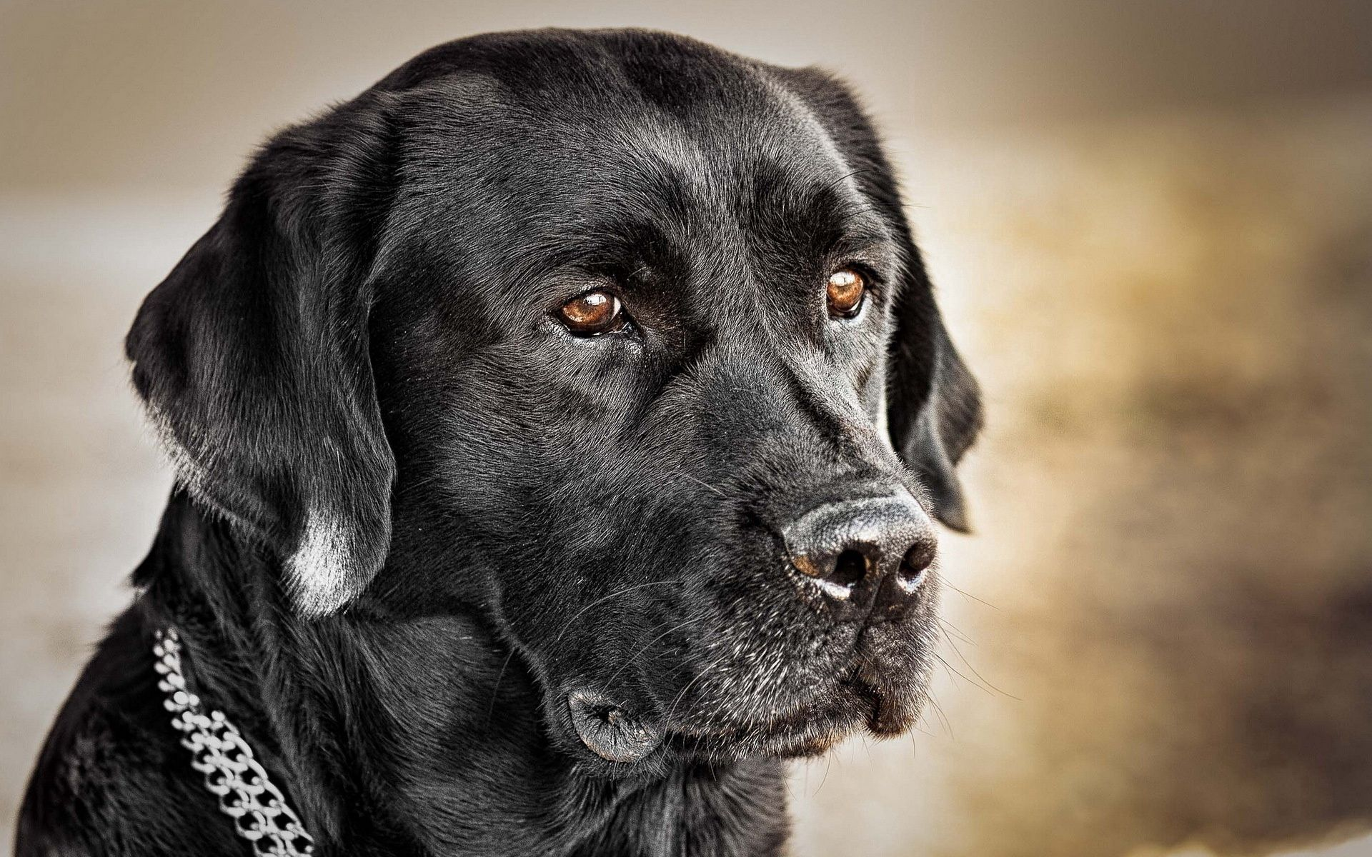 59145 Screensavers and Wallpapers Collar for phone. Download Animals, Dog, Muzzle, Collar, Black Dog pictures for free