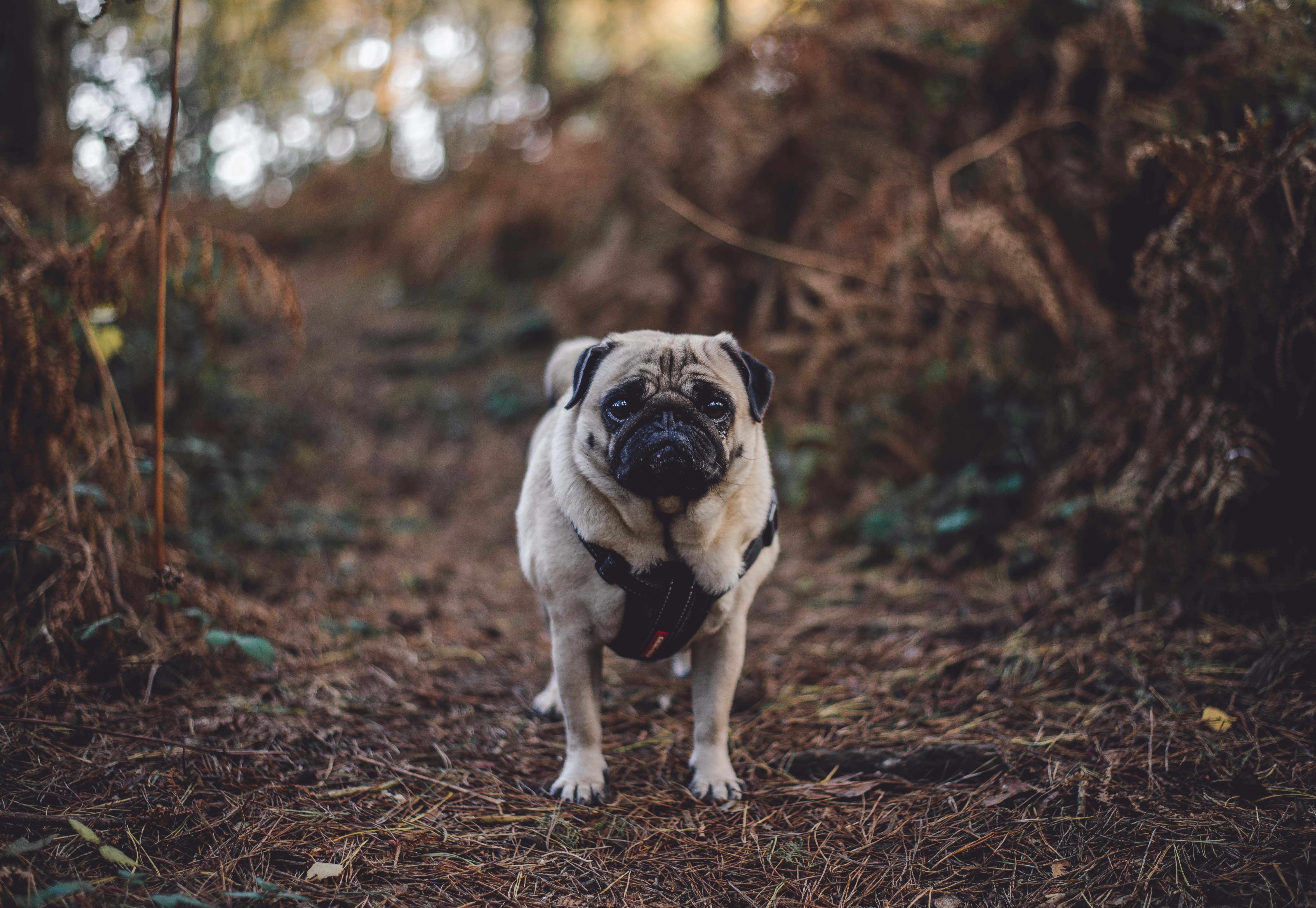 81600 download wallpaper Animals, Pug, Dog, Stroll screensavers and pictures for free