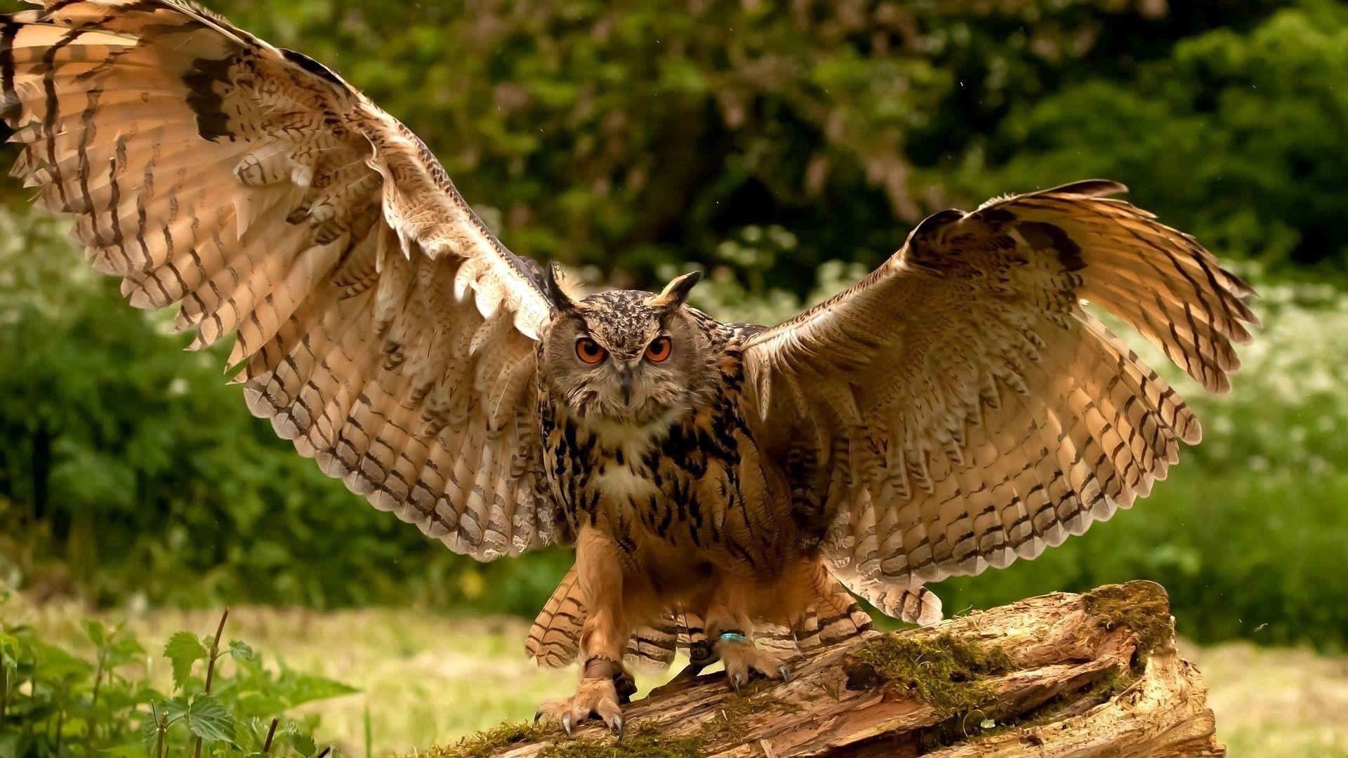 125331 Hintergrundbild herunterladen Raubtier, Tiere, Eule, Predator, Flügel, Welle, Fegen - Bildschirmschoner und Bilder kostenlos