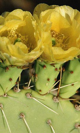 5244 скачать обои Растения, Кактусы, Цветы - заставки и картинки бесплатно