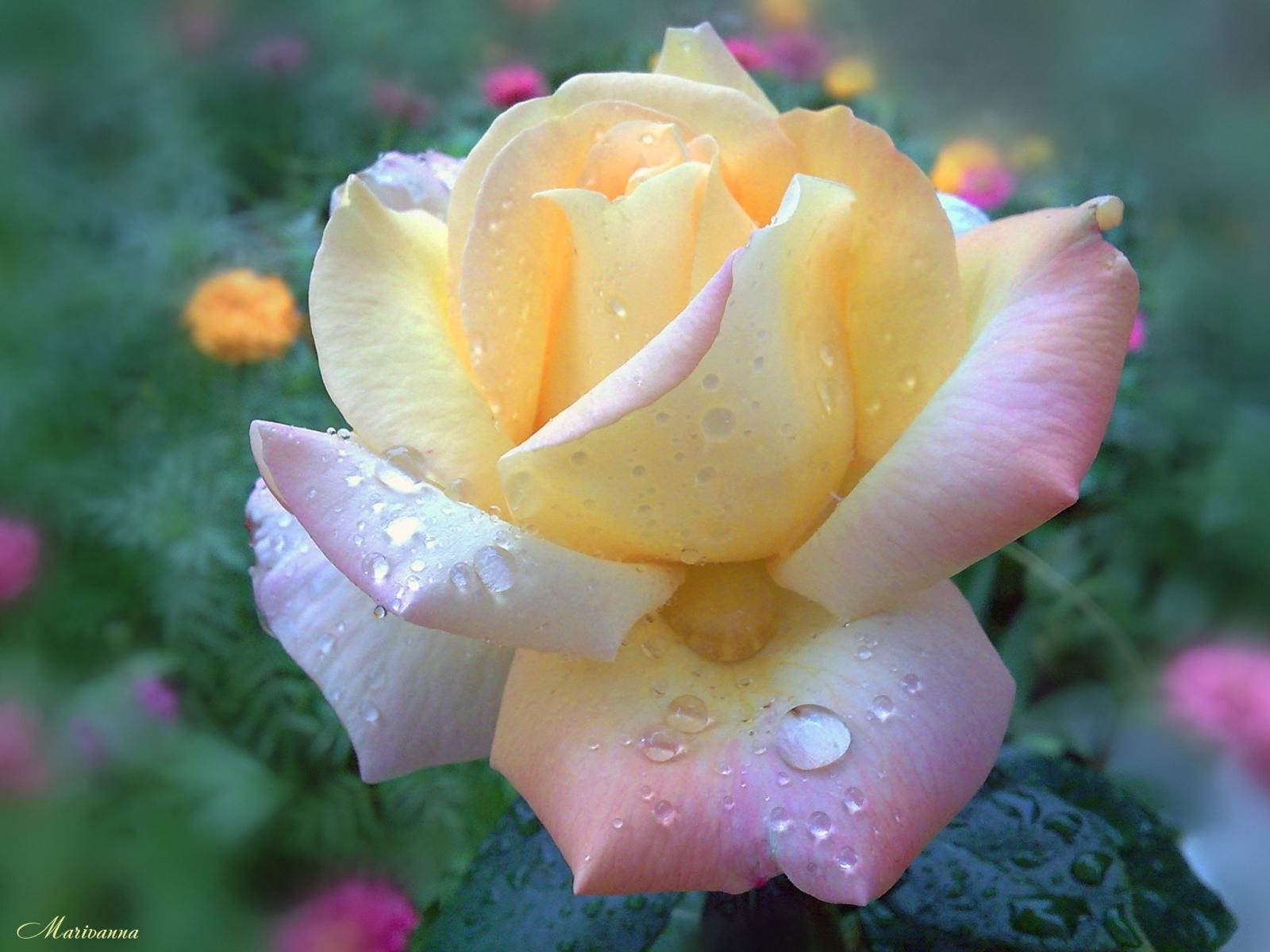 4685 скачать обои Растения, Цветы, Розы - заставки и картинки бесплатно