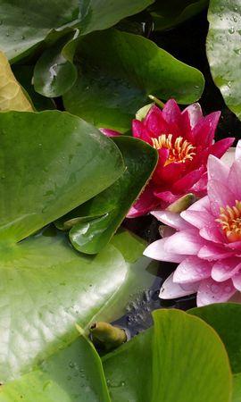 110079 скачать обои Природа, Лопухи, Лилии, Растения, Флора - заставки и картинки бесплатно