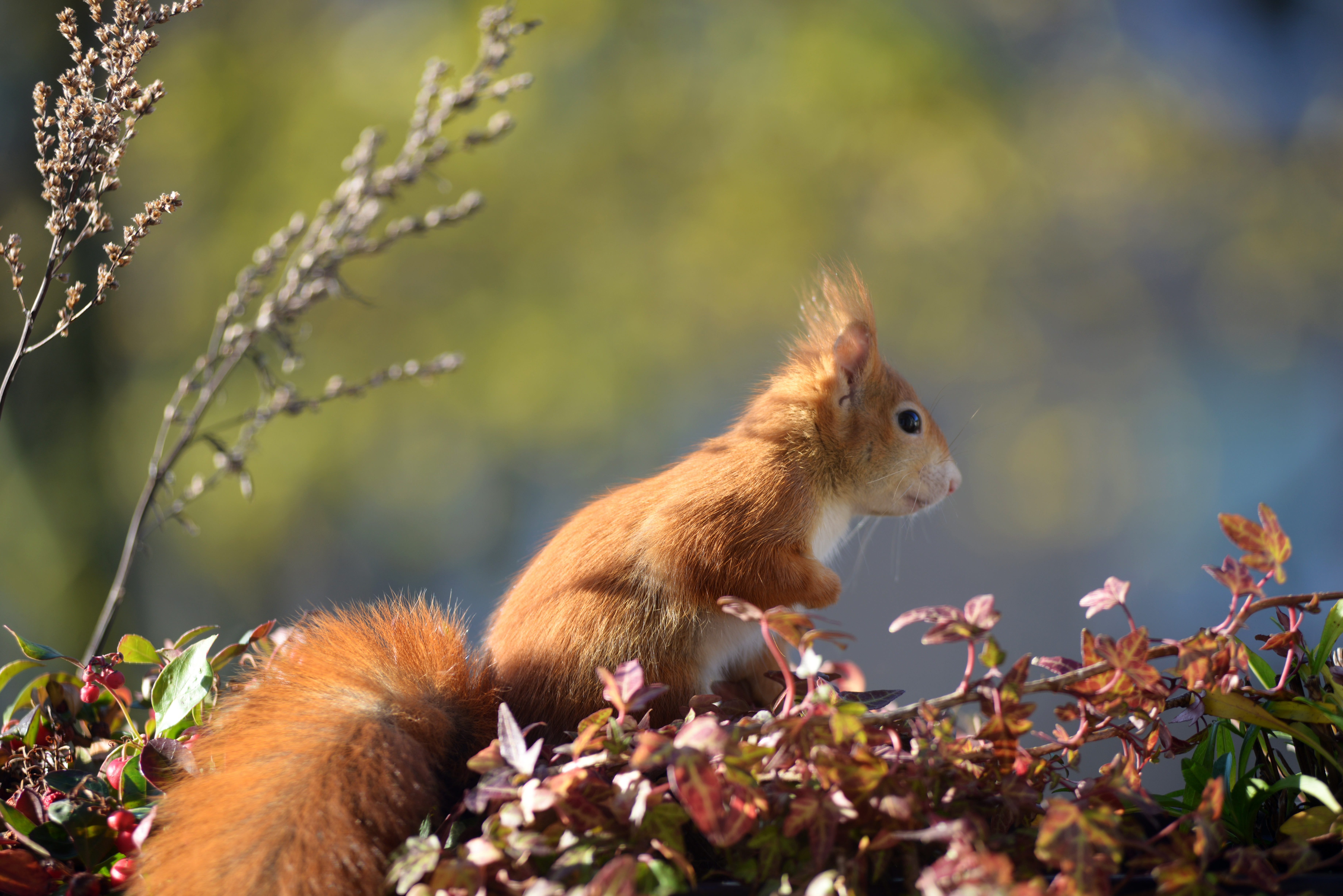 119421 download wallpaper Animals, Squirrel, Animal, Foliage screensavers and pictures for free