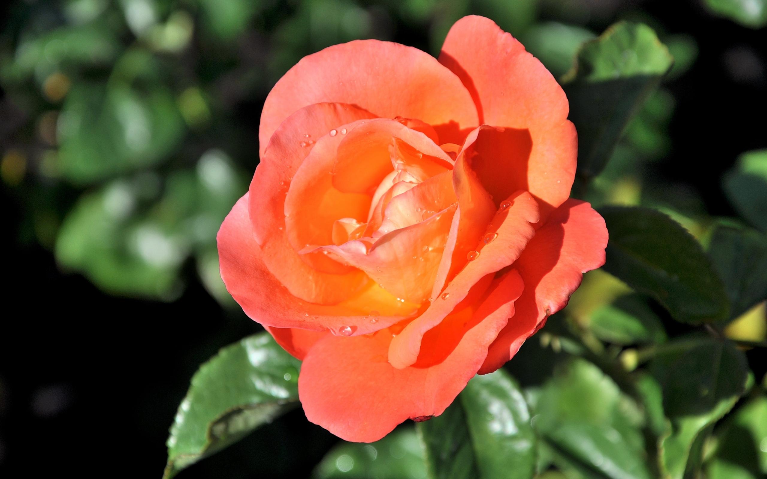 46086 скачать обои Растения, Цветы, Розы - заставки и картинки бесплатно
