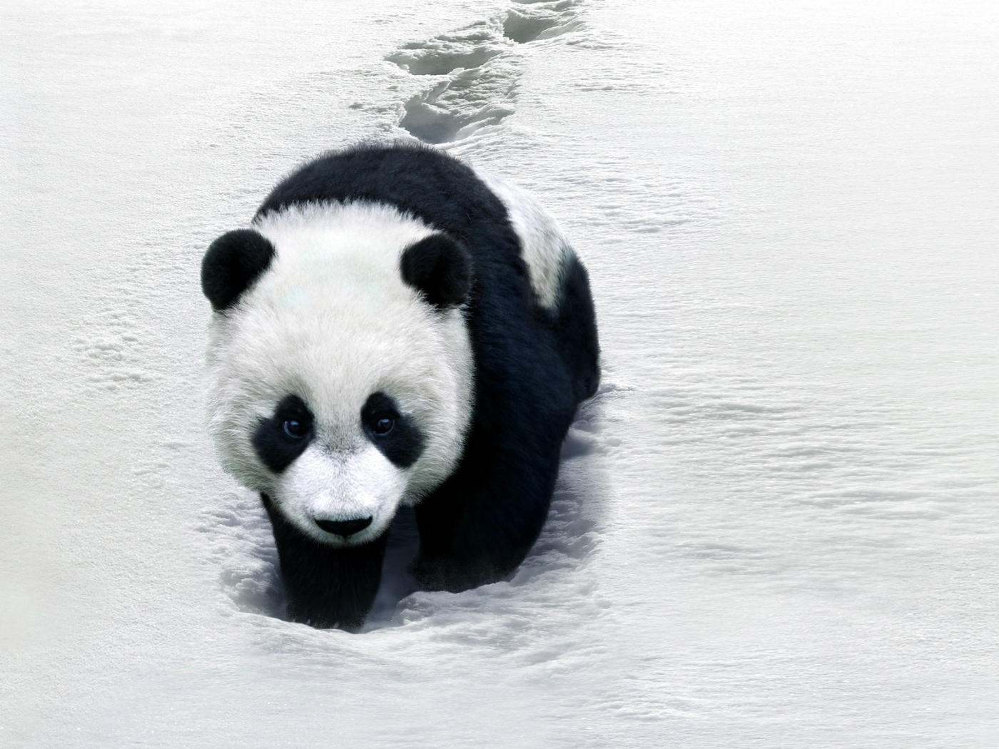 30275 download wallpaper Animals, Pandas screensavers and pictures for free