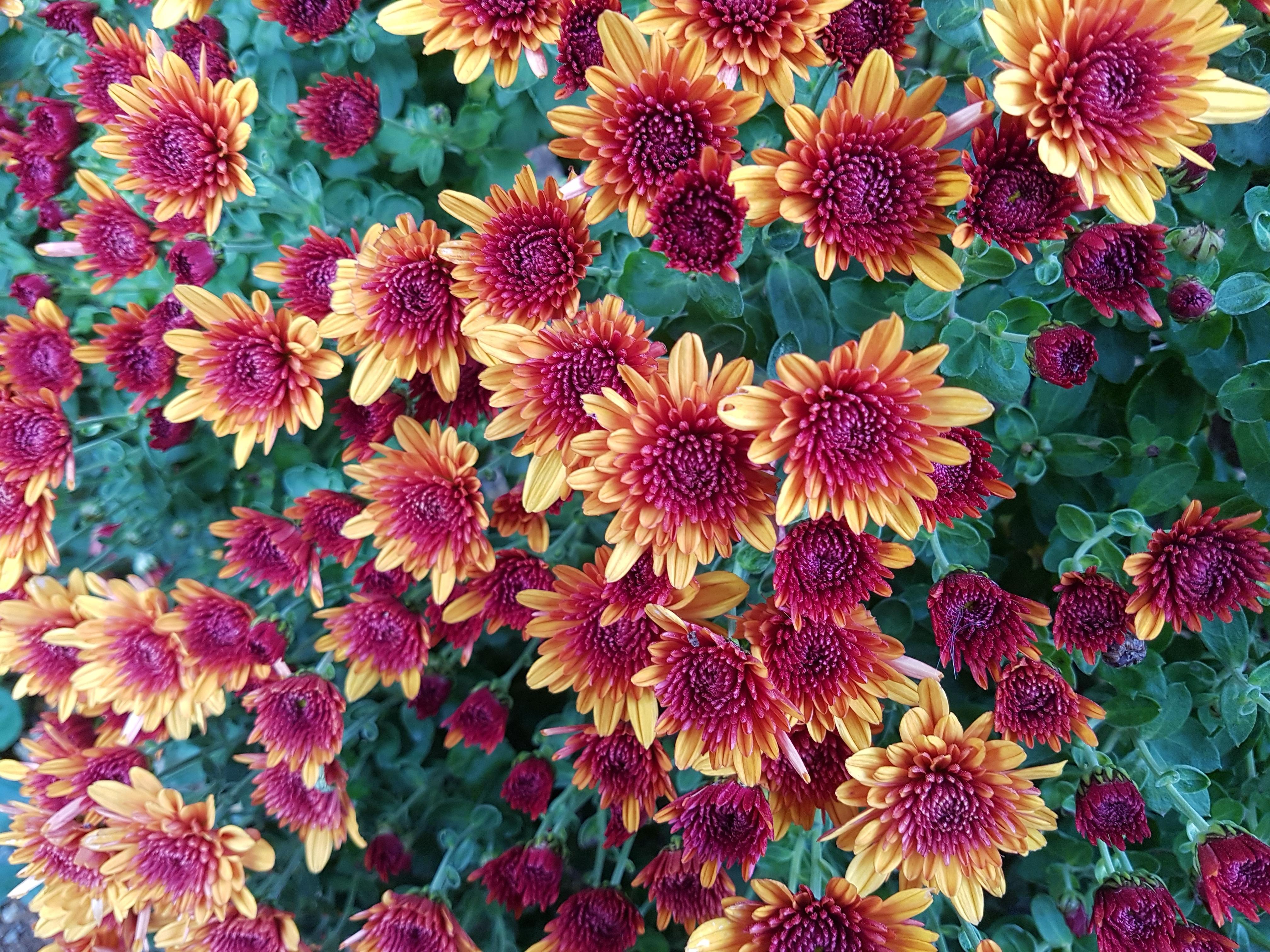 51918 скачать обои Цветы, Ветки, Бутоны, Хризантемы - заставки и картинки бесплатно