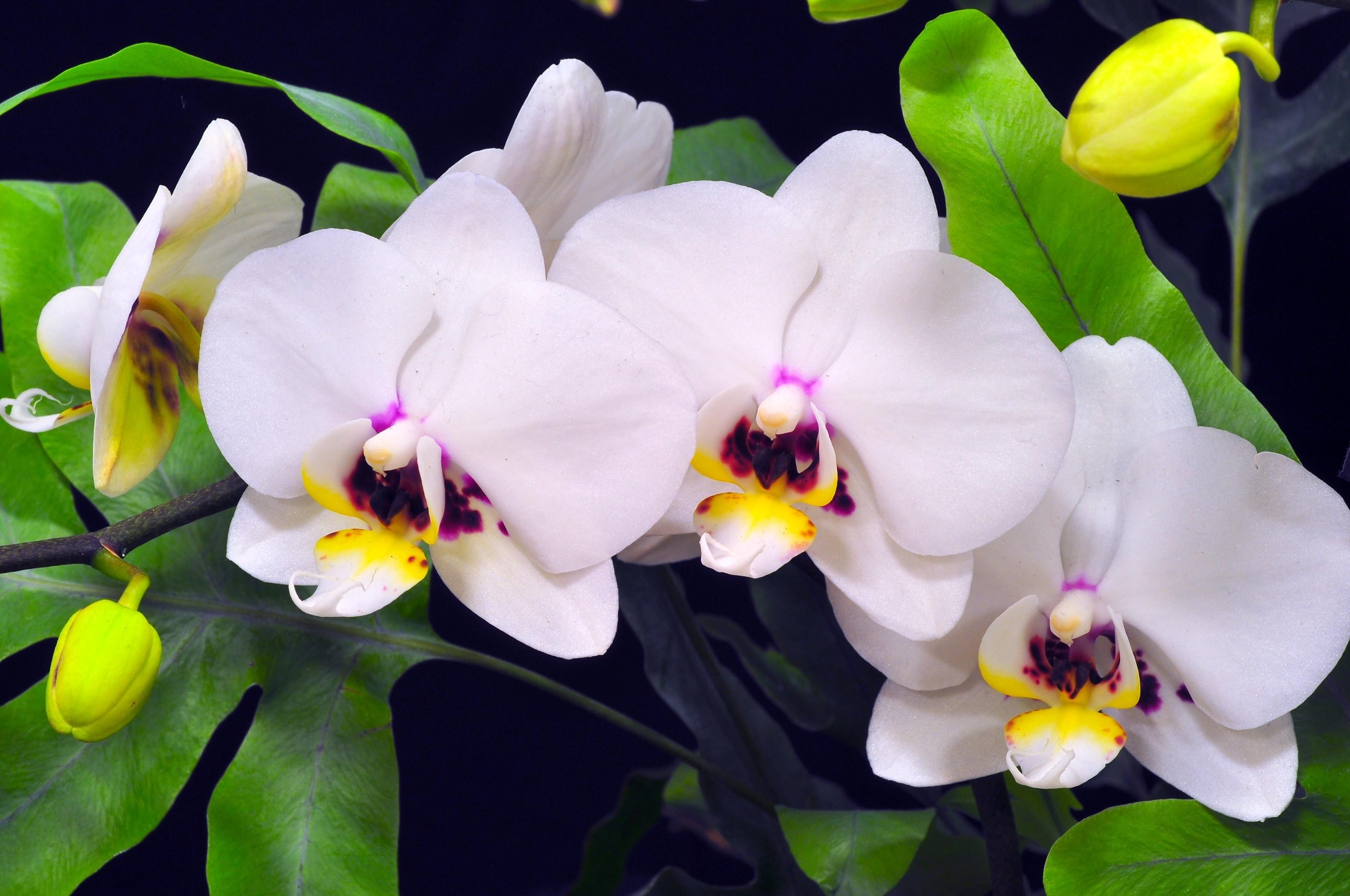 121206 скачать обои Цветы, Орхидея, Ветка, Зелень, Крупный План, Фон - заставки и картинки бесплатно