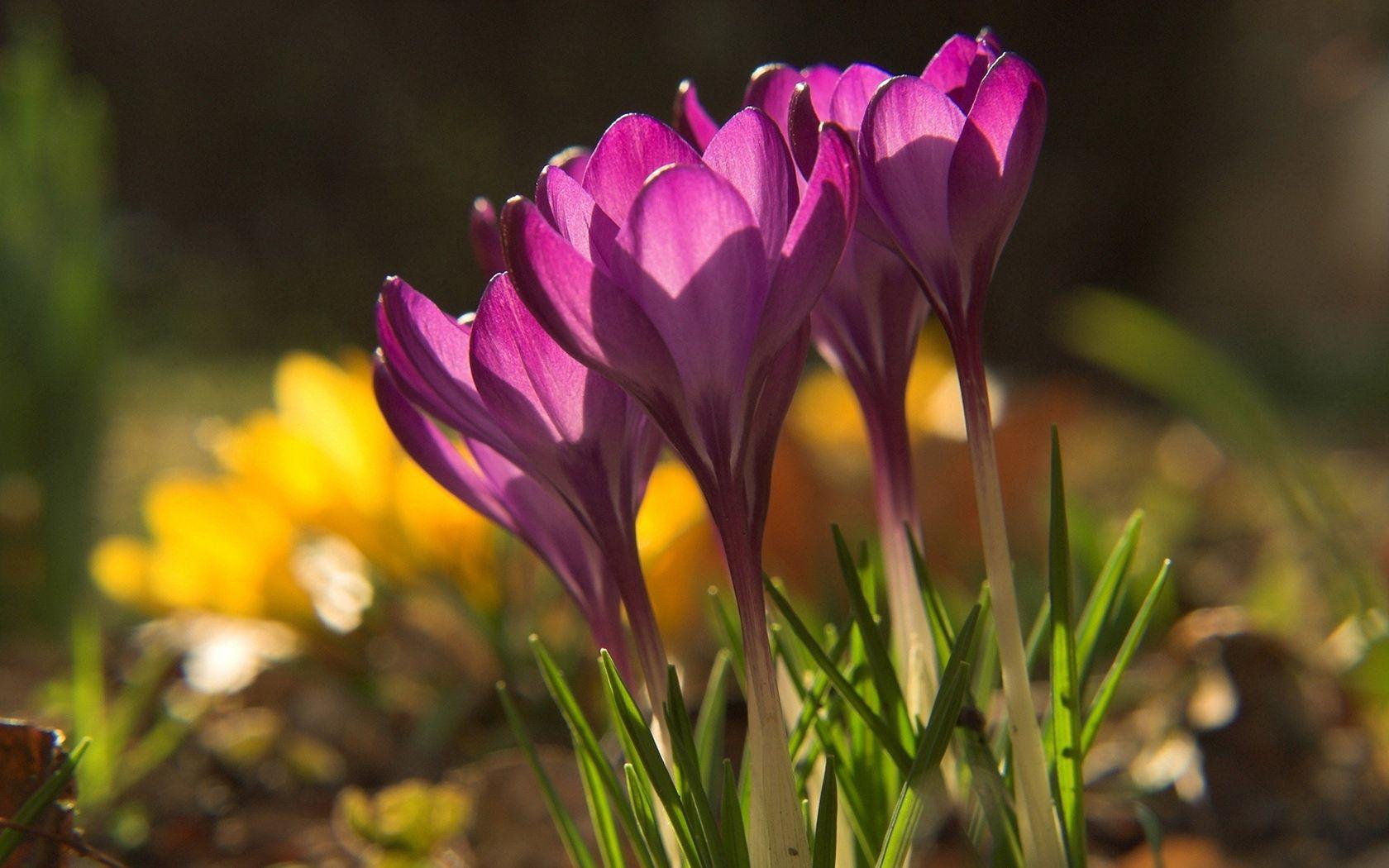 82635 Заставки и Обои Подснежники на телефон. Скачать Природа, Цветы, Подснежники, Растение, Тень картинки бесплатно