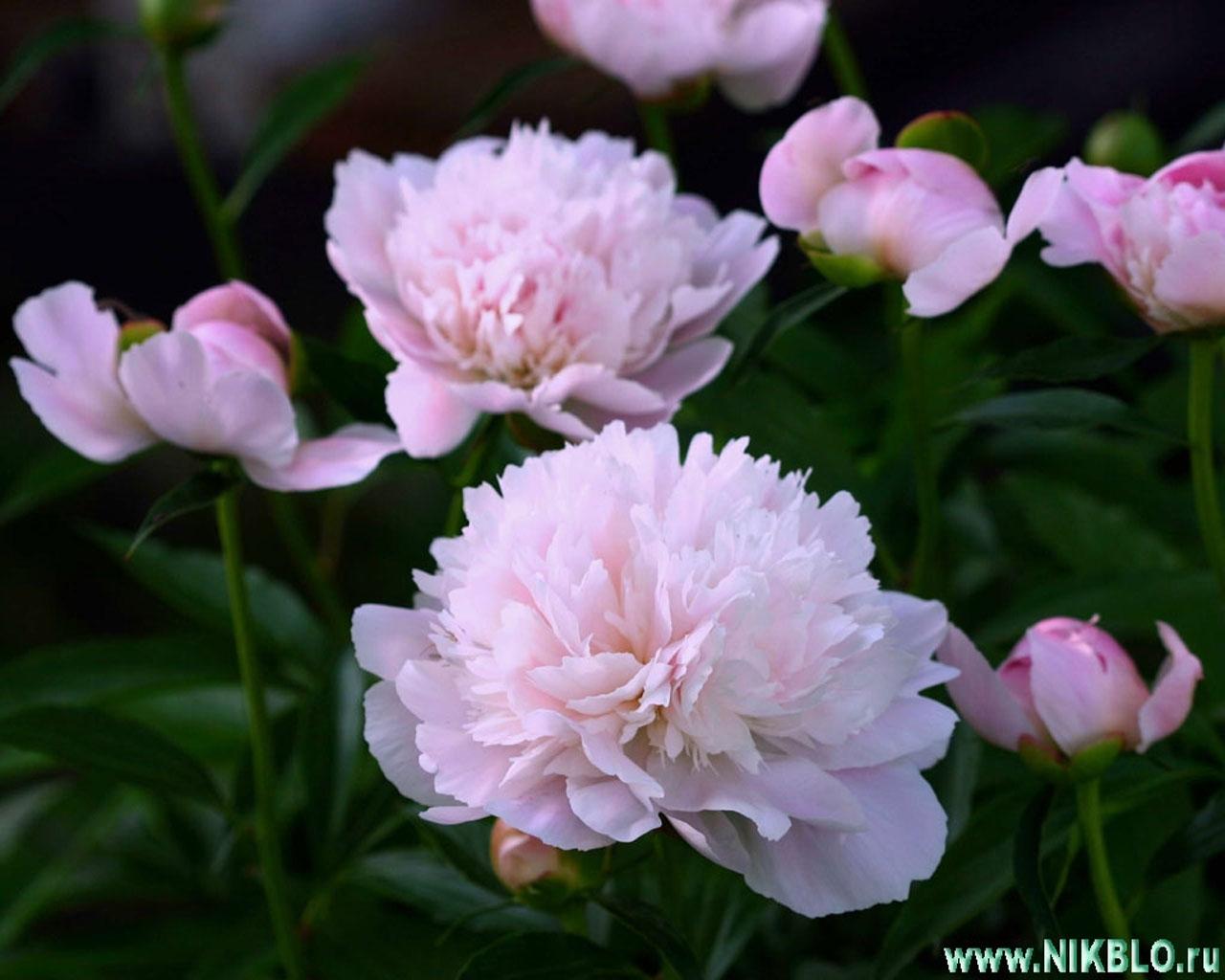 4822 скачать обои Растения, Цветы - заставки и картинки бесплатно