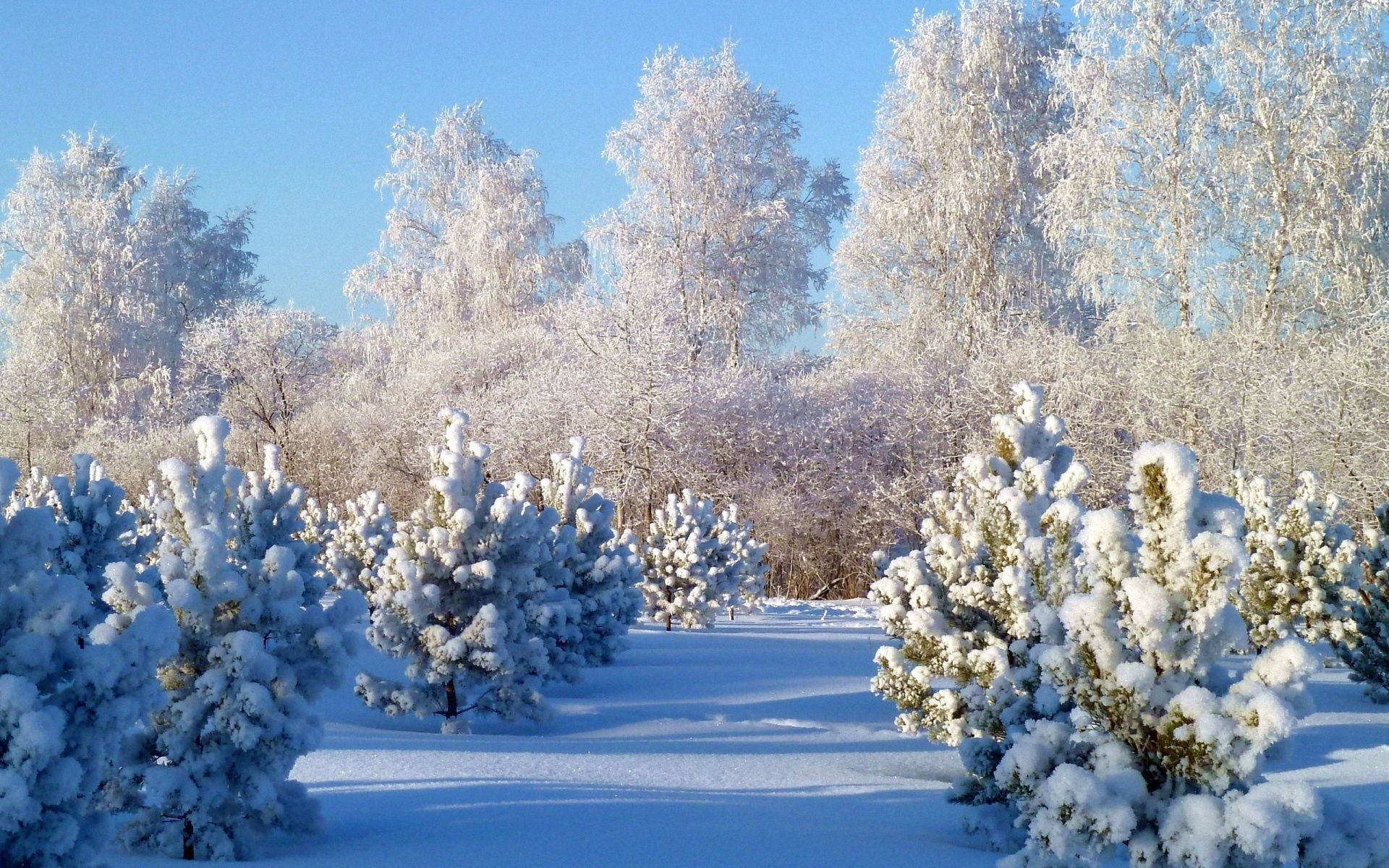 92240 скачать обои Зима, Природа, Деревья, Снег, Белый, Иней, Седина, Сугробы, Молодняк, Ели, Покров - заставки и картинки бесплатно