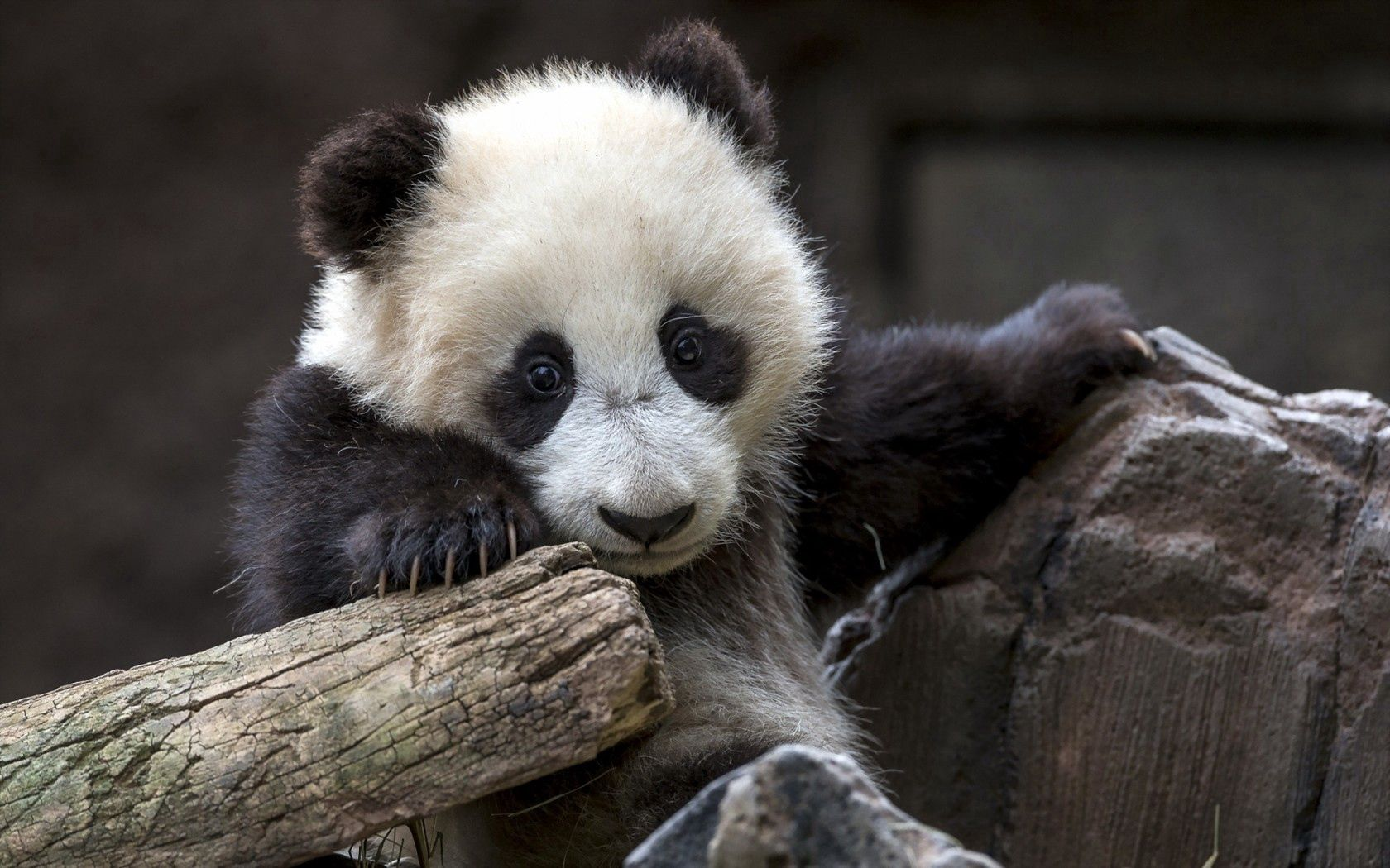 51154 Screensavers and Wallpapers Bear for phone. Download Animals, Nature, Bear, Panda pictures for free