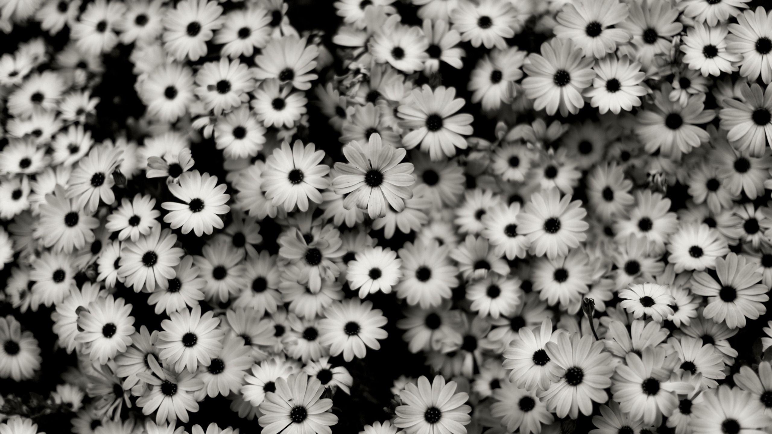 123677 скачать обои Цветы, Ромашки, Серый, Чб - заставки и картинки бесплатно