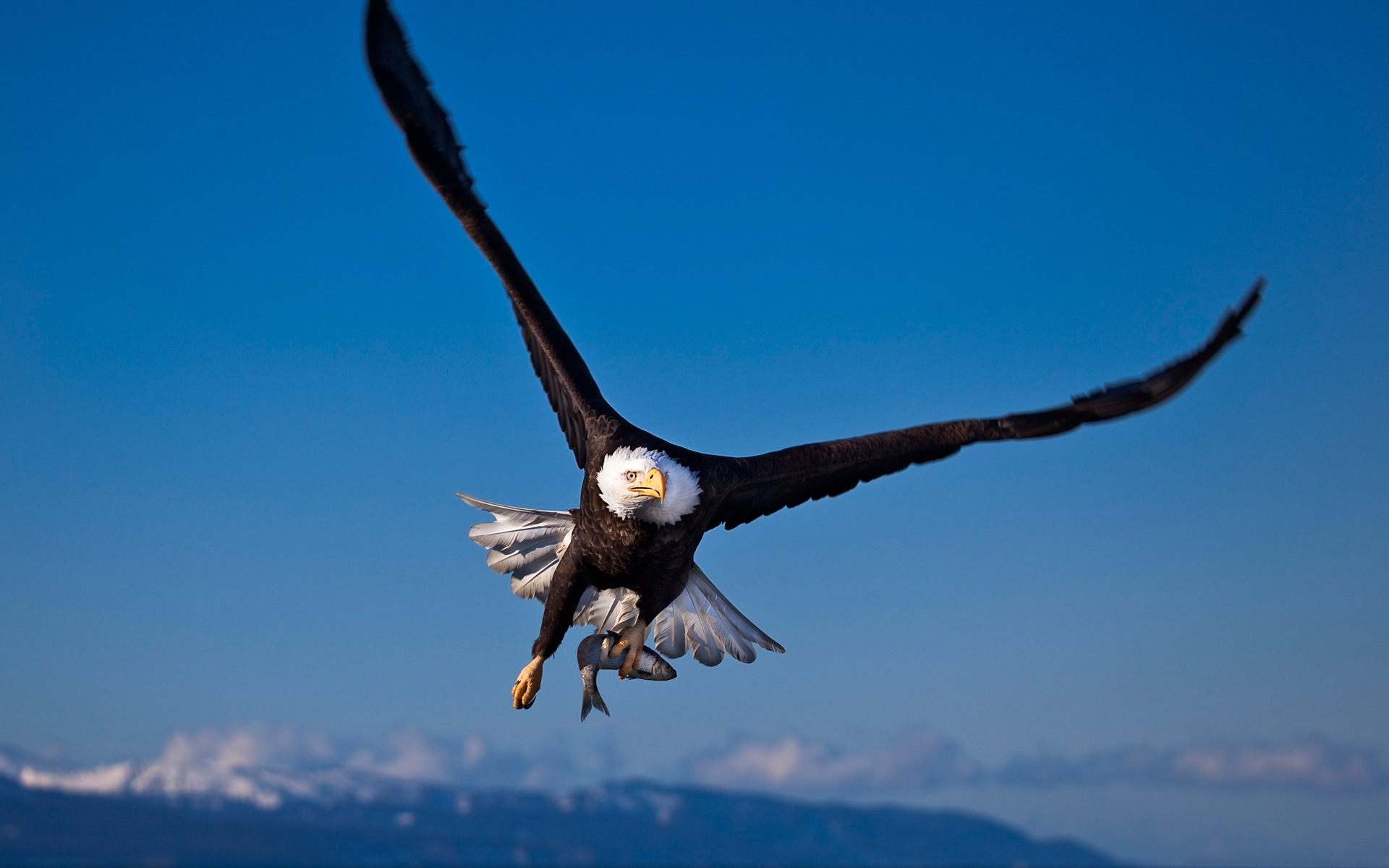 36028 download wallpaper Animals, Birds, Eagles screensavers and pictures for free