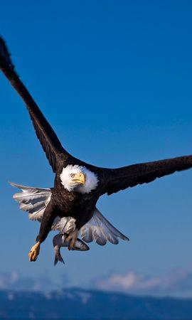 36028 baixar papel de parede Animais, Aves, Eagles - protetores de tela e imagens gratuitamente