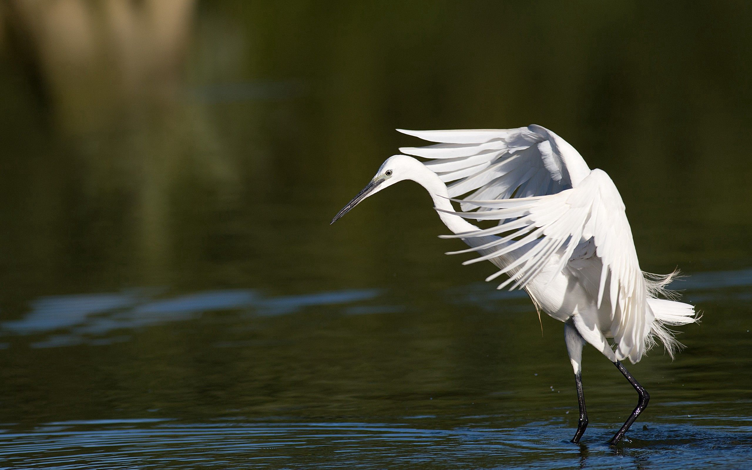 117740 download wallpaper Animals, Snow Heron, Wings, Sweep, Wave, Light Coloured, Light screensavers and pictures for free
