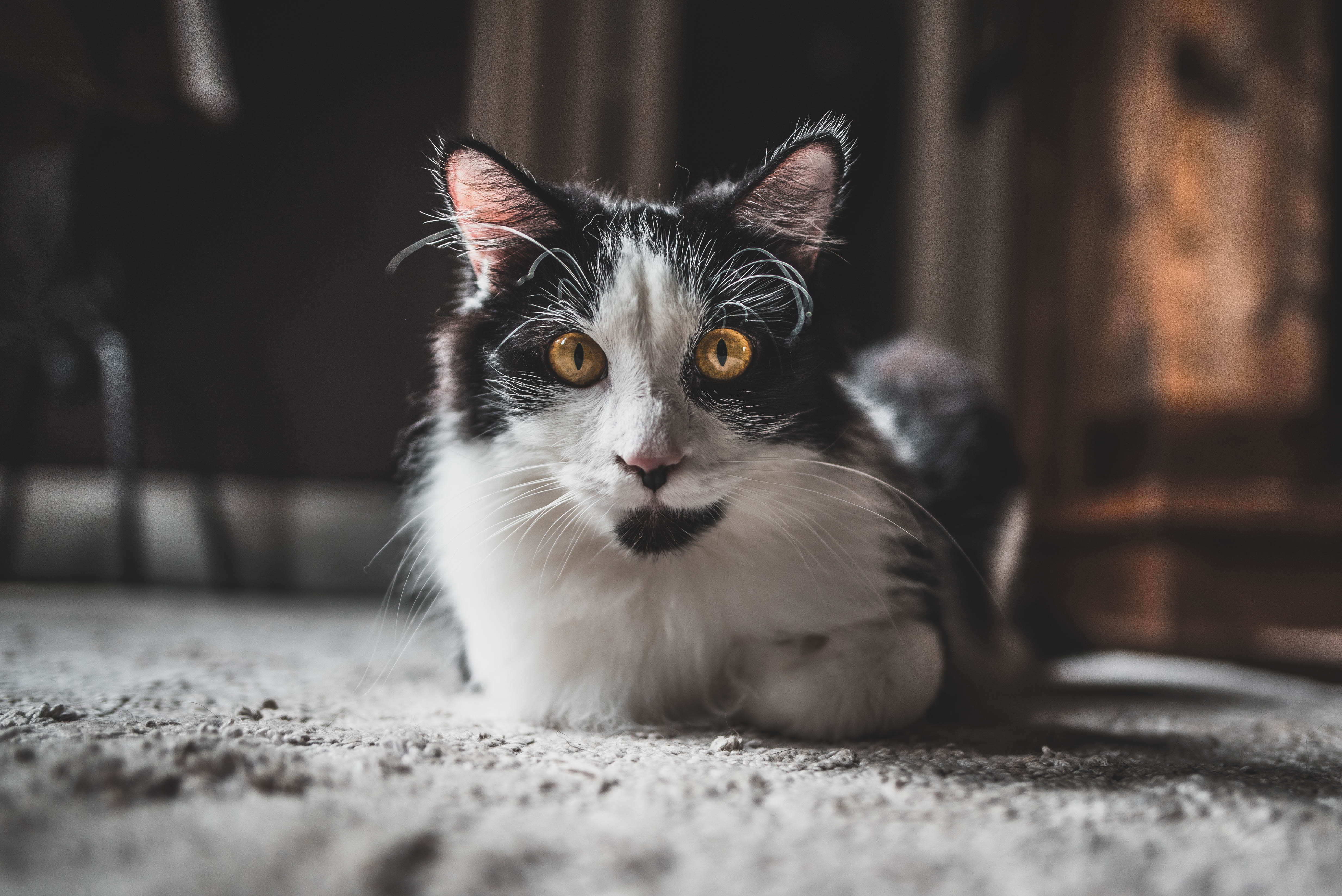 86642 Screensavers and Wallpapers Pet for phone. Download Animals, Cat, Sight, Opinion, Pet, Fluffy, Animal pictures for free