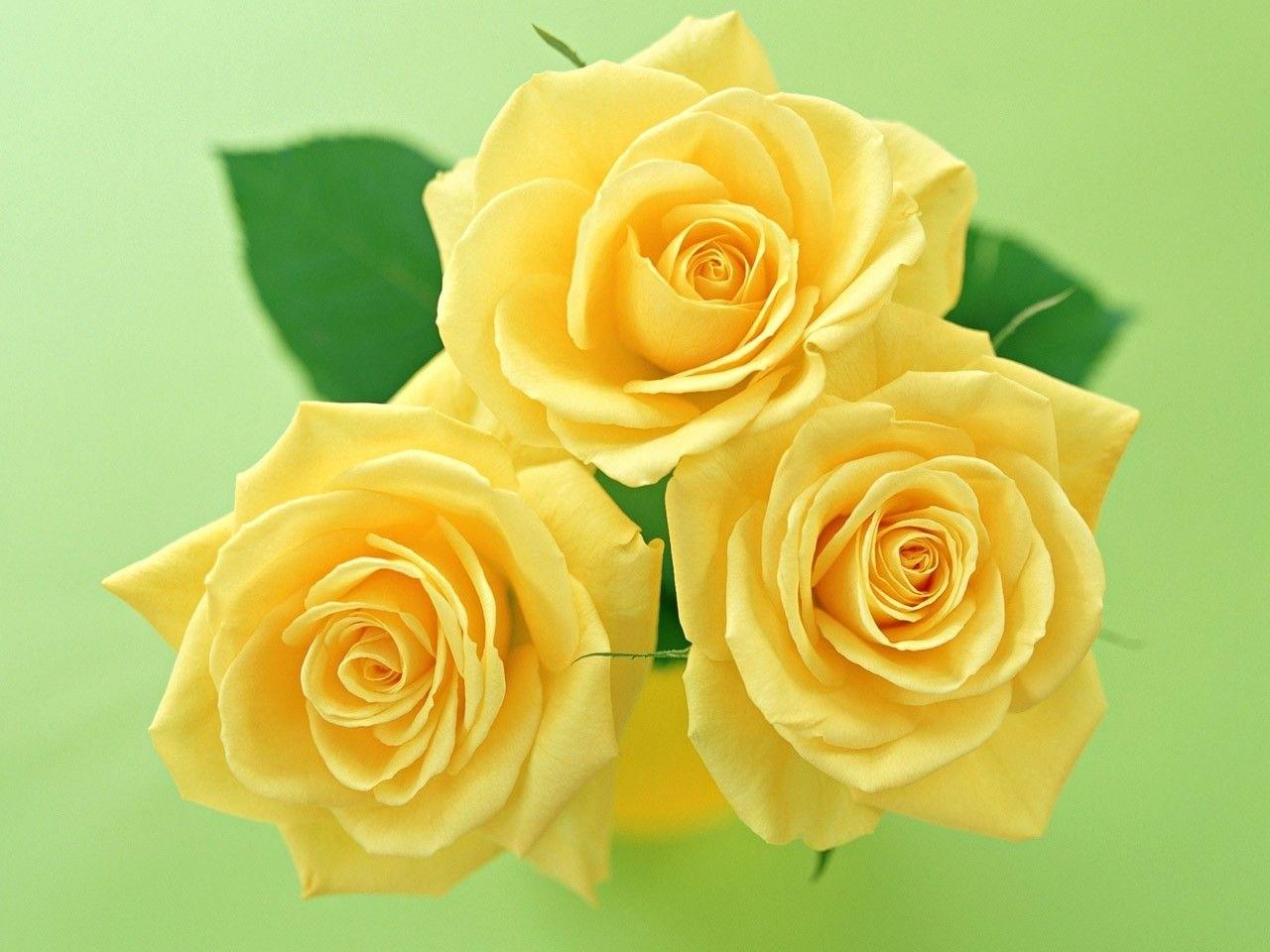 3449 скачать Желтые обои на телефон бесплатно, Открытки, Растения, Цветы, Розы Желтые картинки и заставки на мобильный