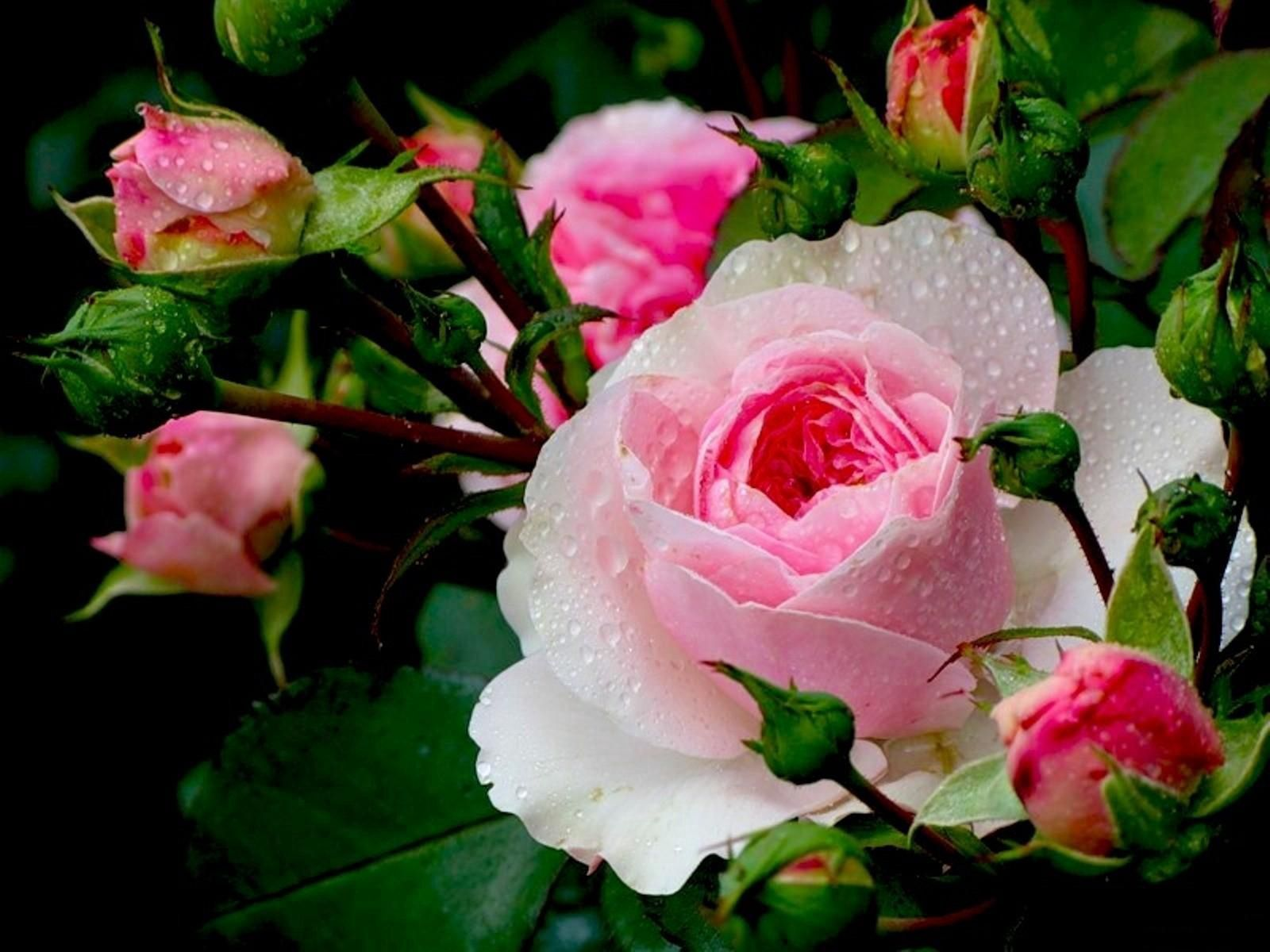 145792 скачать обои Цветы, Бутоны, Крупный План, Капли, Свежесть, Розы - заставки и картинки бесплатно