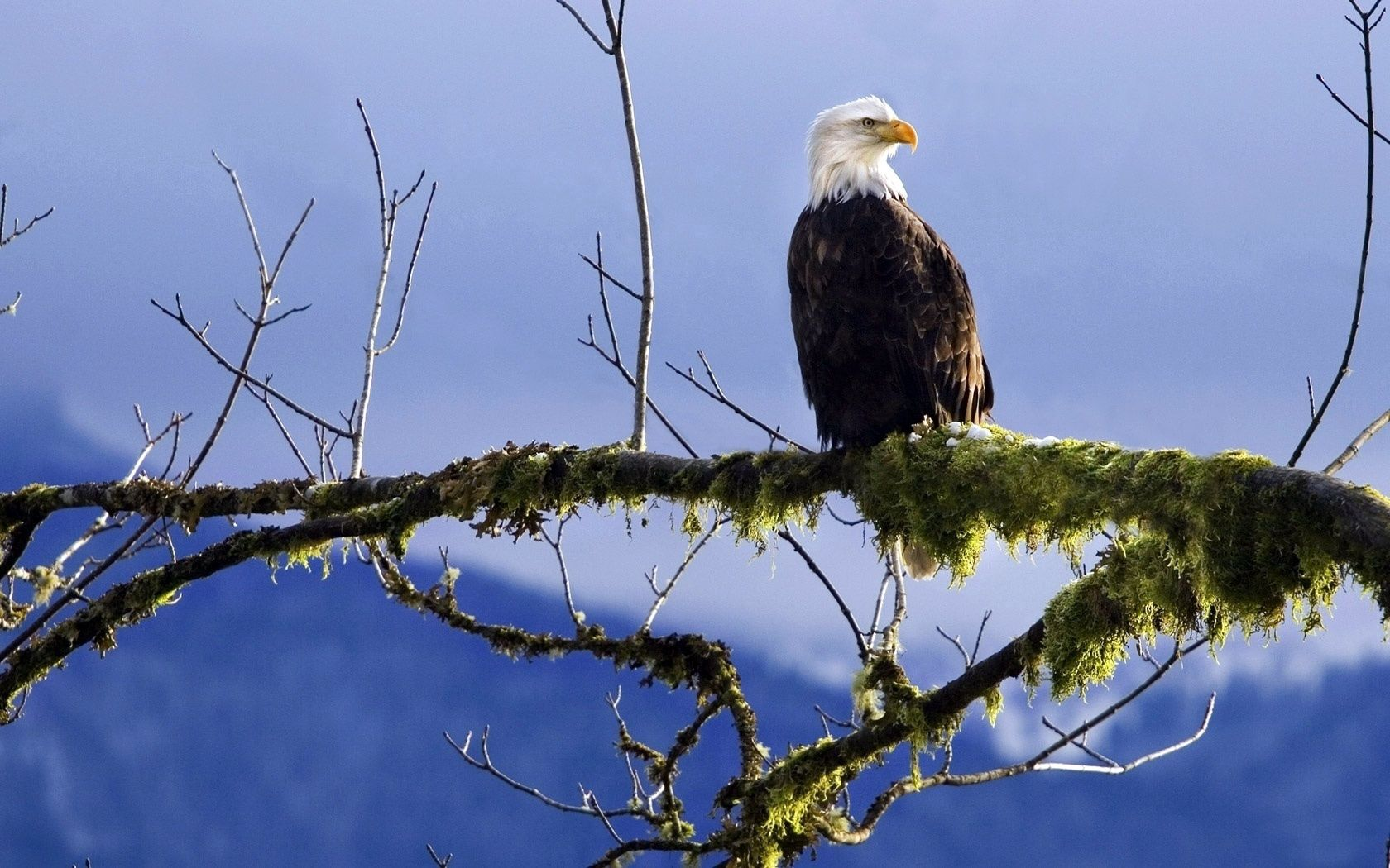154421 download wallpaper Animals, Bald Eagle, White-Headed Eagle, Branch, Moss screensavers and pictures for free