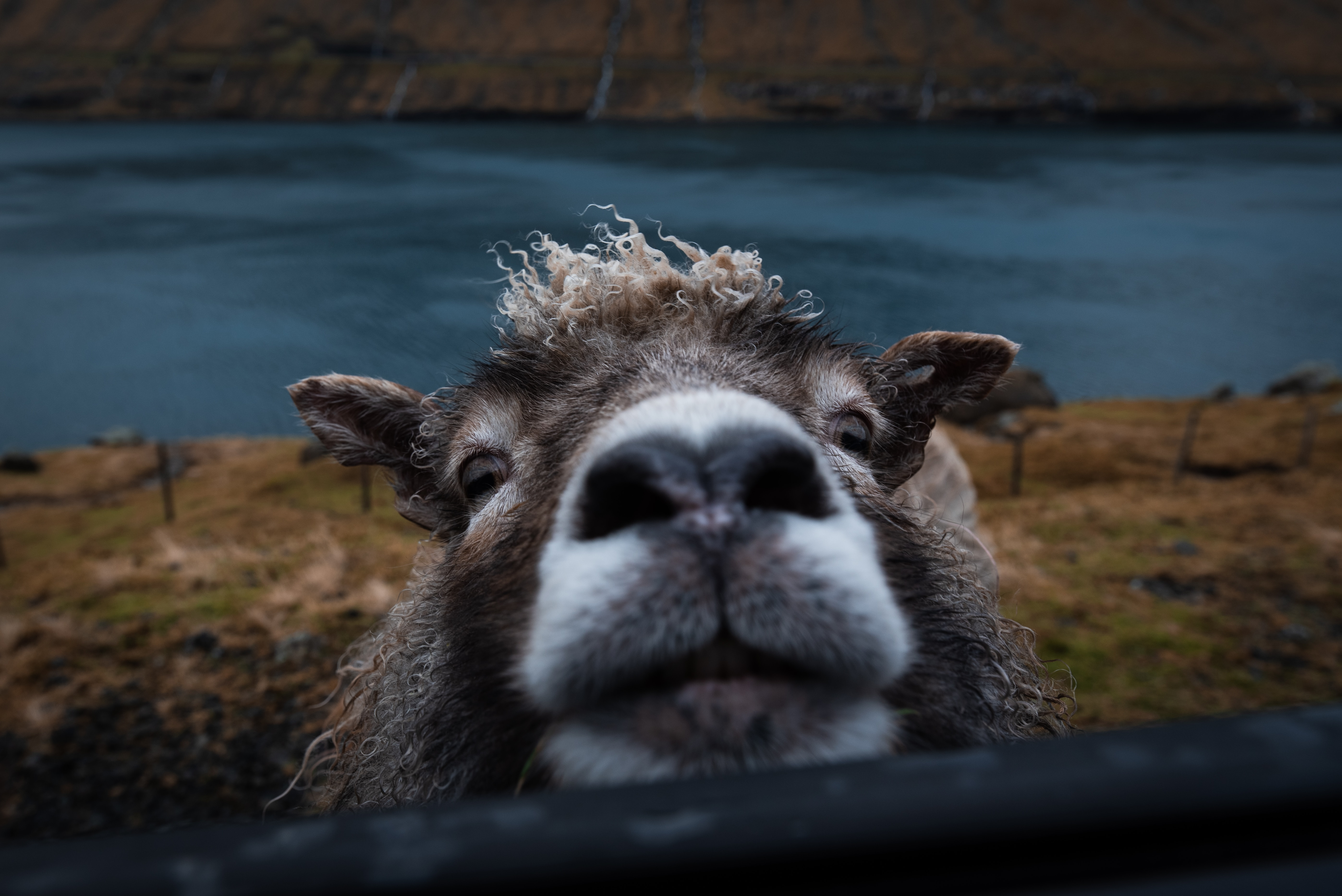 53084 Screensavers and Wallpapers Nice for phone. Download Funny, Animals, Animal, Nice, Sweetheart, Sheep, Peep pictures for free