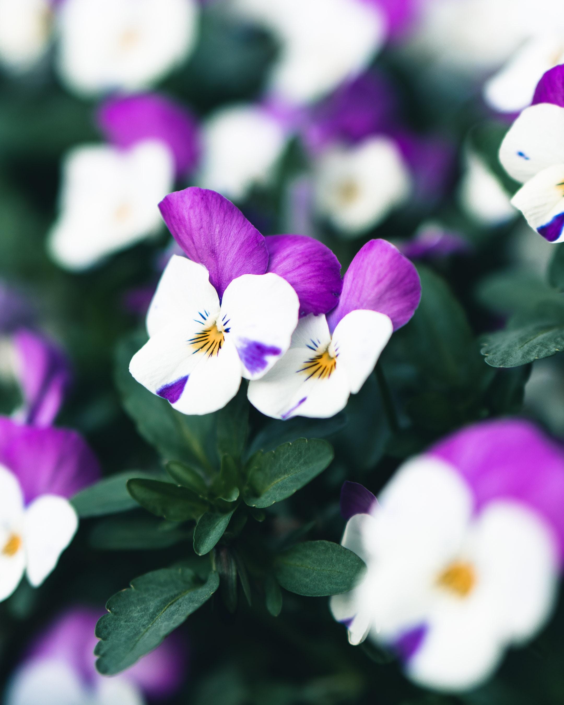 60473 Заставки и Обои Фиалки на телефон. Скачать Цветы, Фиалки, Растение, Цветение, Белый, Фиолетовый картинки бесплатно