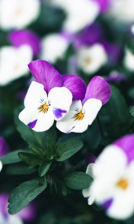 60473 Заставки і шпалери Фіалки на телефон. Завантажити Квіти, Фіалки, Цвітіння, Рослина картинки безкоштовно