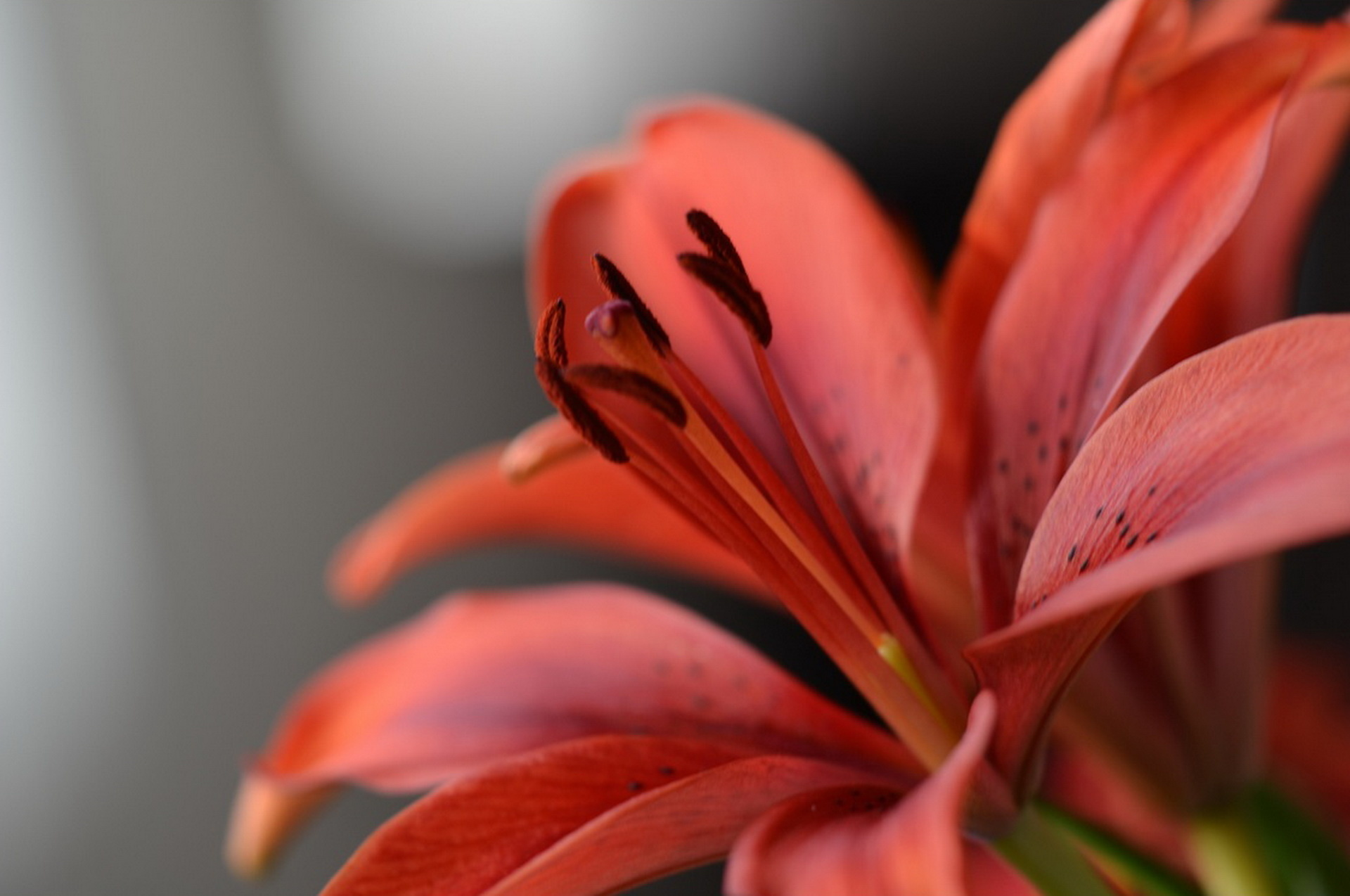117191 Screensavers and Wallpapers Petals for phone. Download Flower, Macro, Petals, Lily, Stamens pictures for free