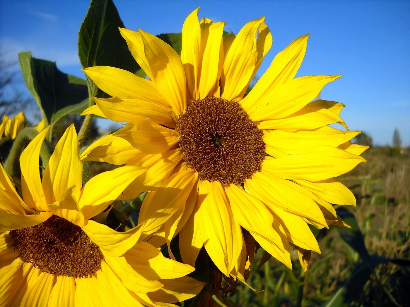 23797 免費下載壁紙 植物, 花卉, 向日葵 屏保和圖片