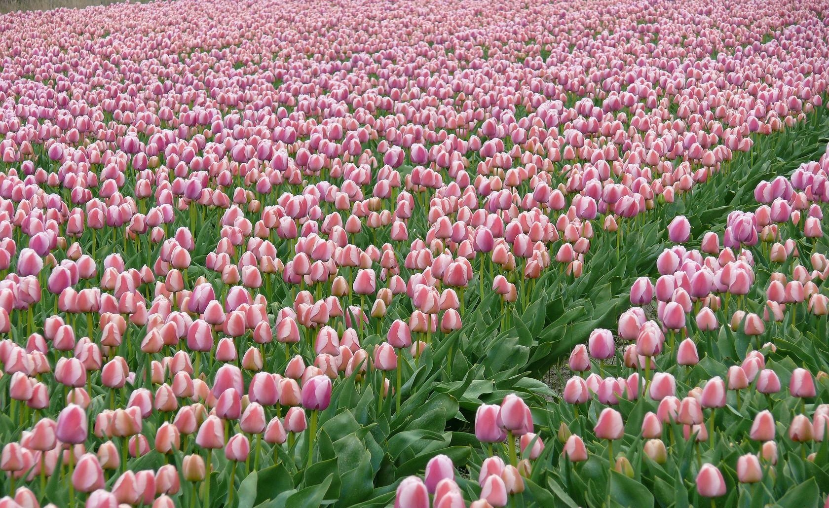 65298 download wallpaper Flowers, Tulips, Field, Plantation, Spring screensavers and pictures for free