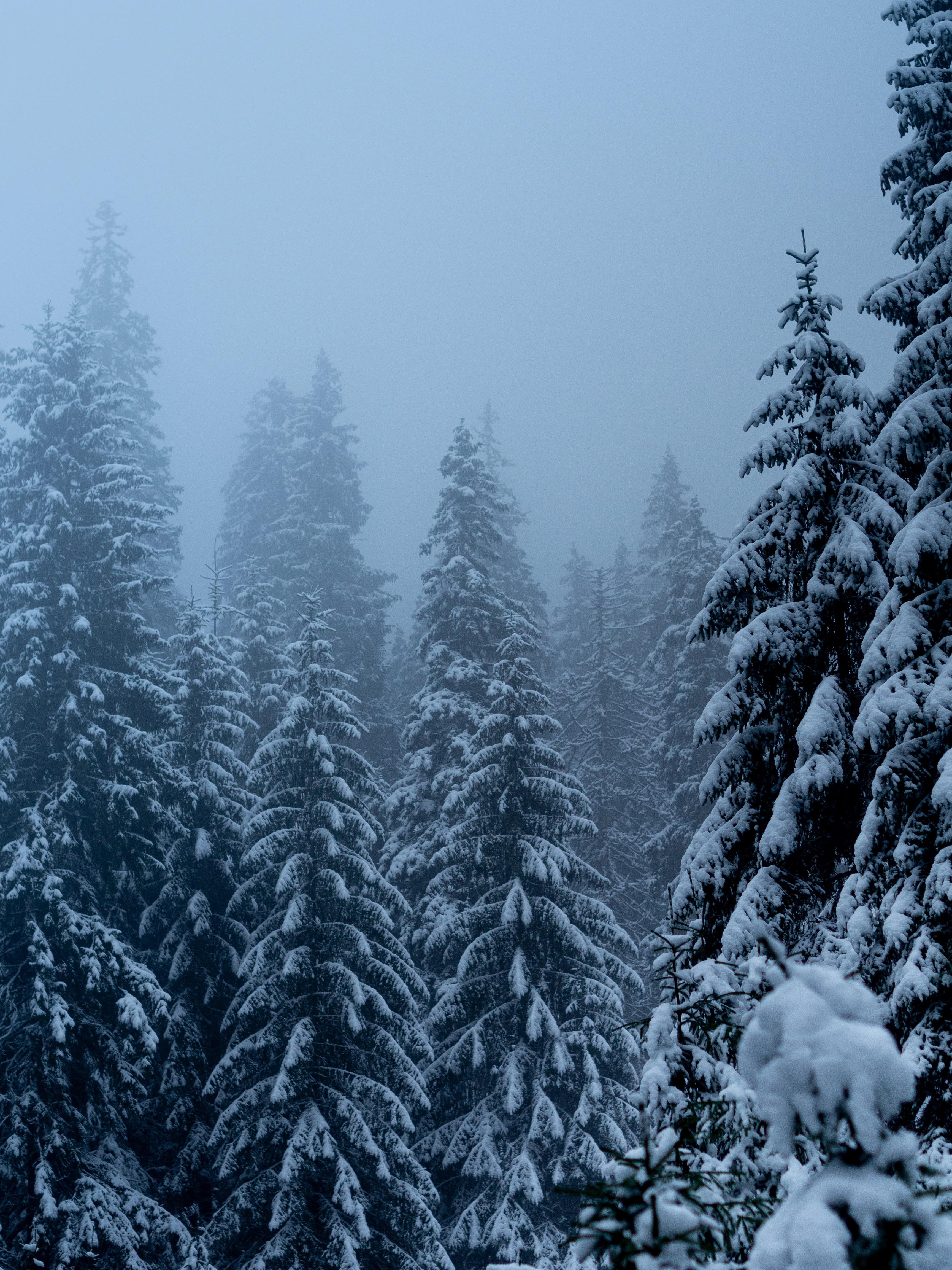 69836 скачать обои Природа, Деревья, Снег, Метель, Зима, Сосны - заставки и картинки бесплатно