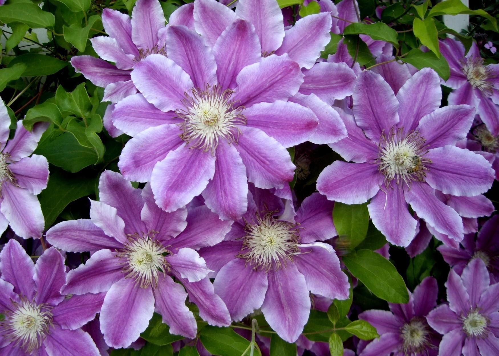84511 免費下載壁紙 花卉, 铁线莲, 克莱马蒂斯, 明亮的, 明亮, 叶 屏保和圖片