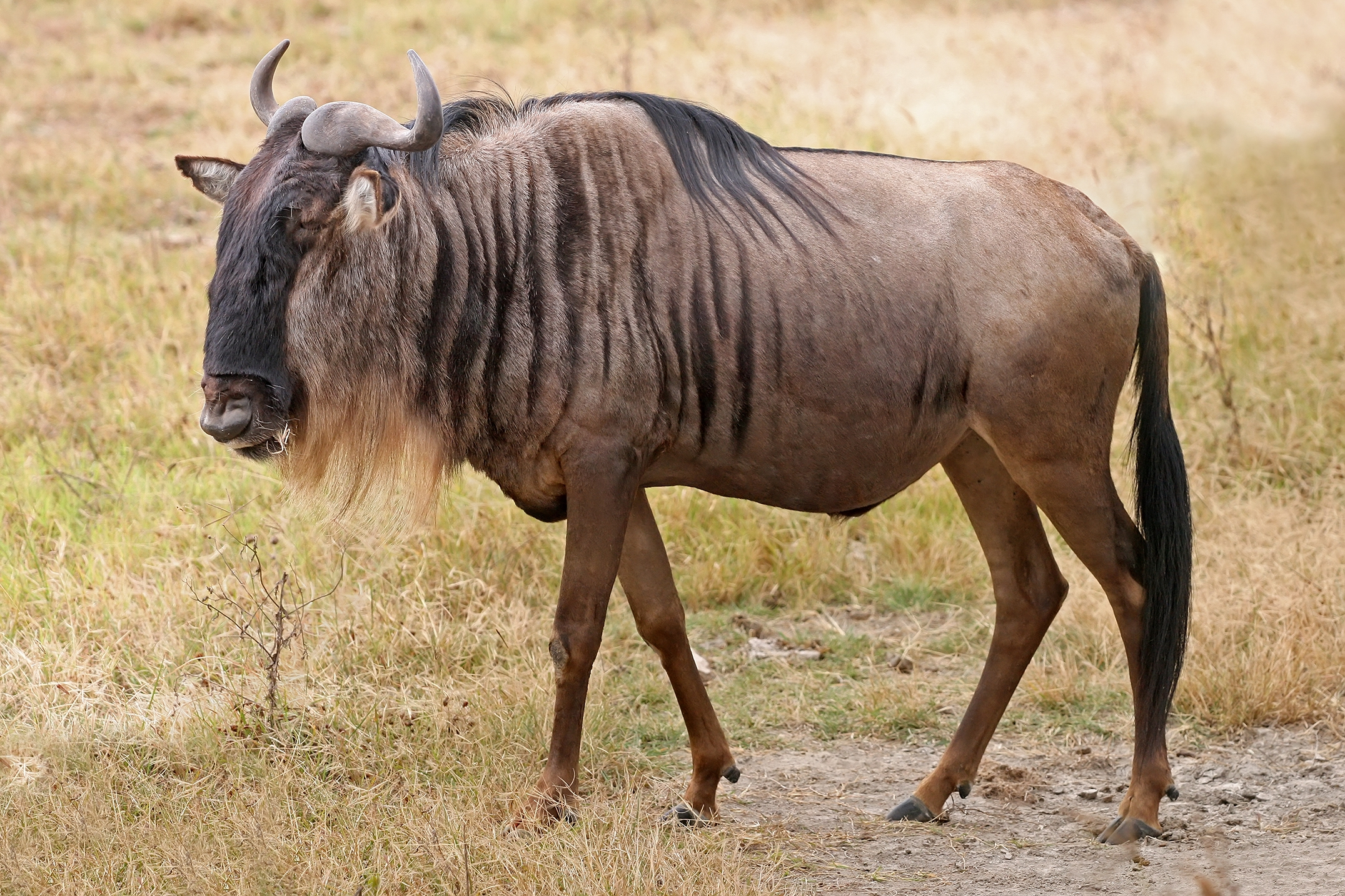 119568 download wallpaper Animals, Antelope, Grass, Stroll screensavers and pictures for free
