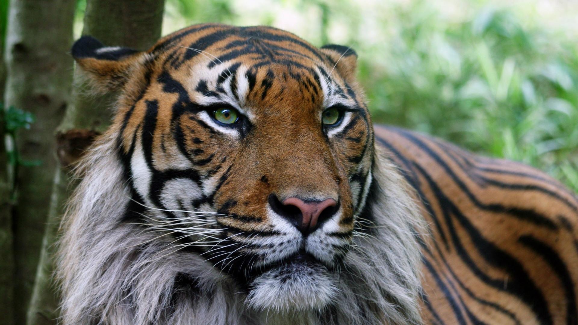 24360 Заставки и Обои Тигры на телефон. Скачать Животные, Тигры картинки бесплатно