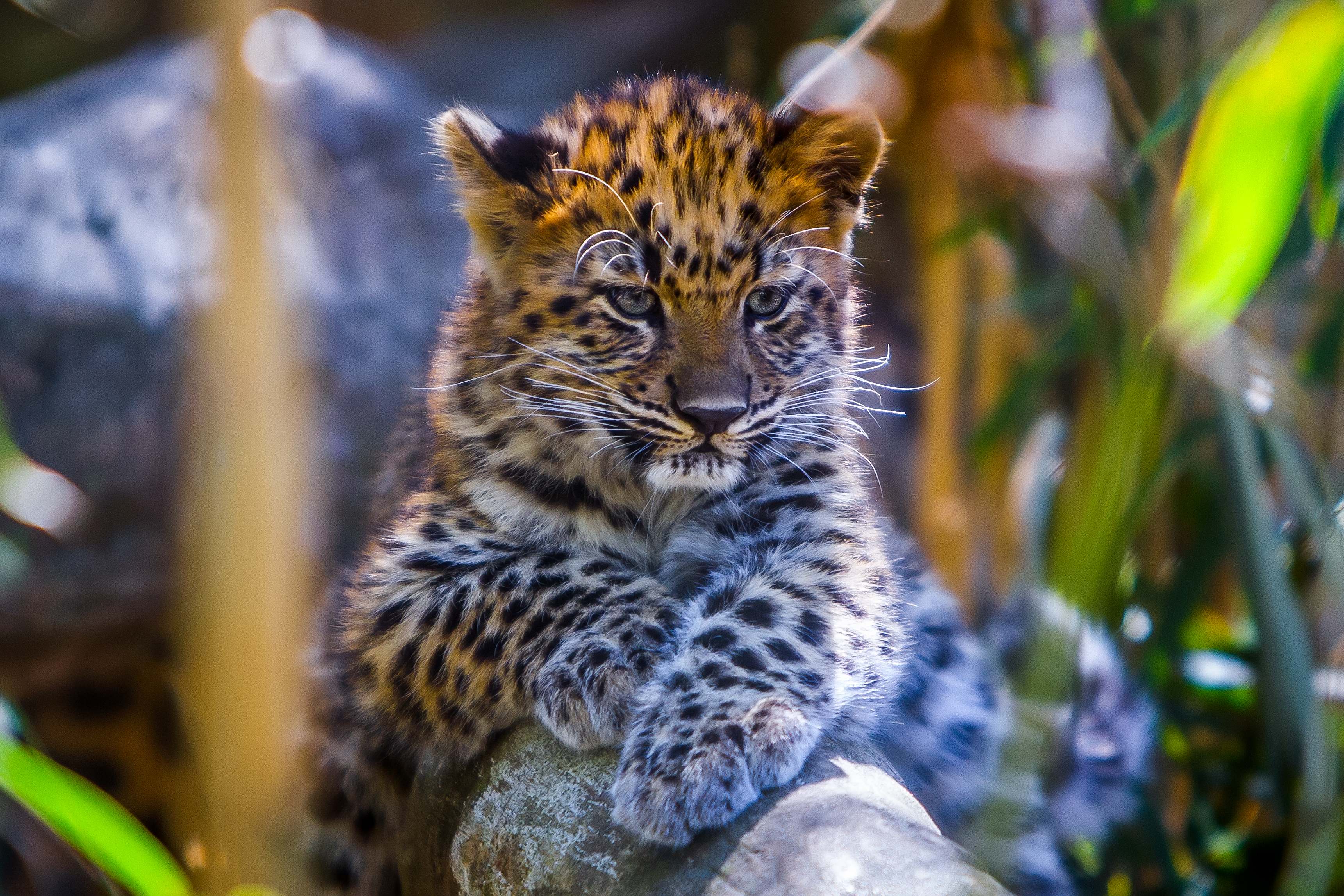 63006 download wallpaper Animals, Young, Leopard, Predator, Sight, Opinion, Joey screensavers and pictures for free
