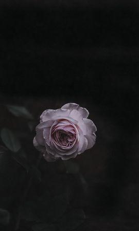 147226 baixar papel de parede Flores, Flor Rosa, Rosa, Bud, Botão, Cor De Rosa, Embaçamento, Liso, Jardim - protetores de tela e imagens gratuitamente