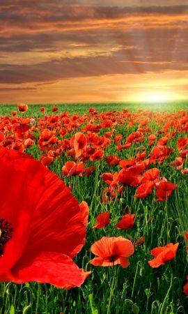 24546 скачать обои Растения, Пейзаж, Цветы, Закат, Поля, Маки - заставки и картинки бесплатно