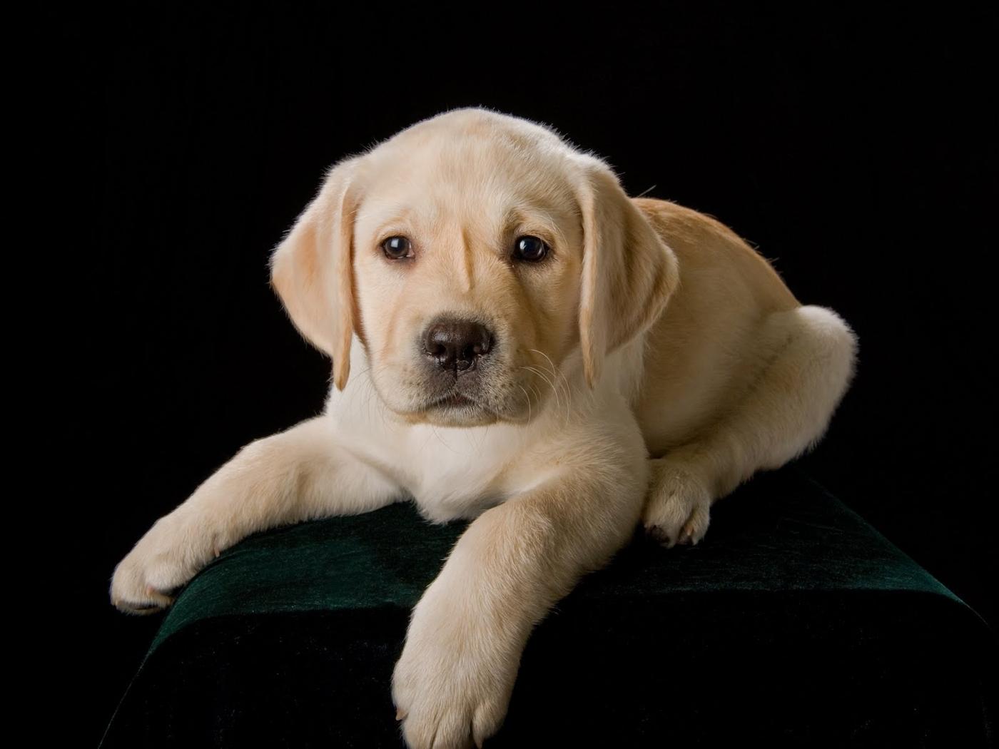 36964 скачать обои Собаки, Животные - заставки и картинки бесплатно