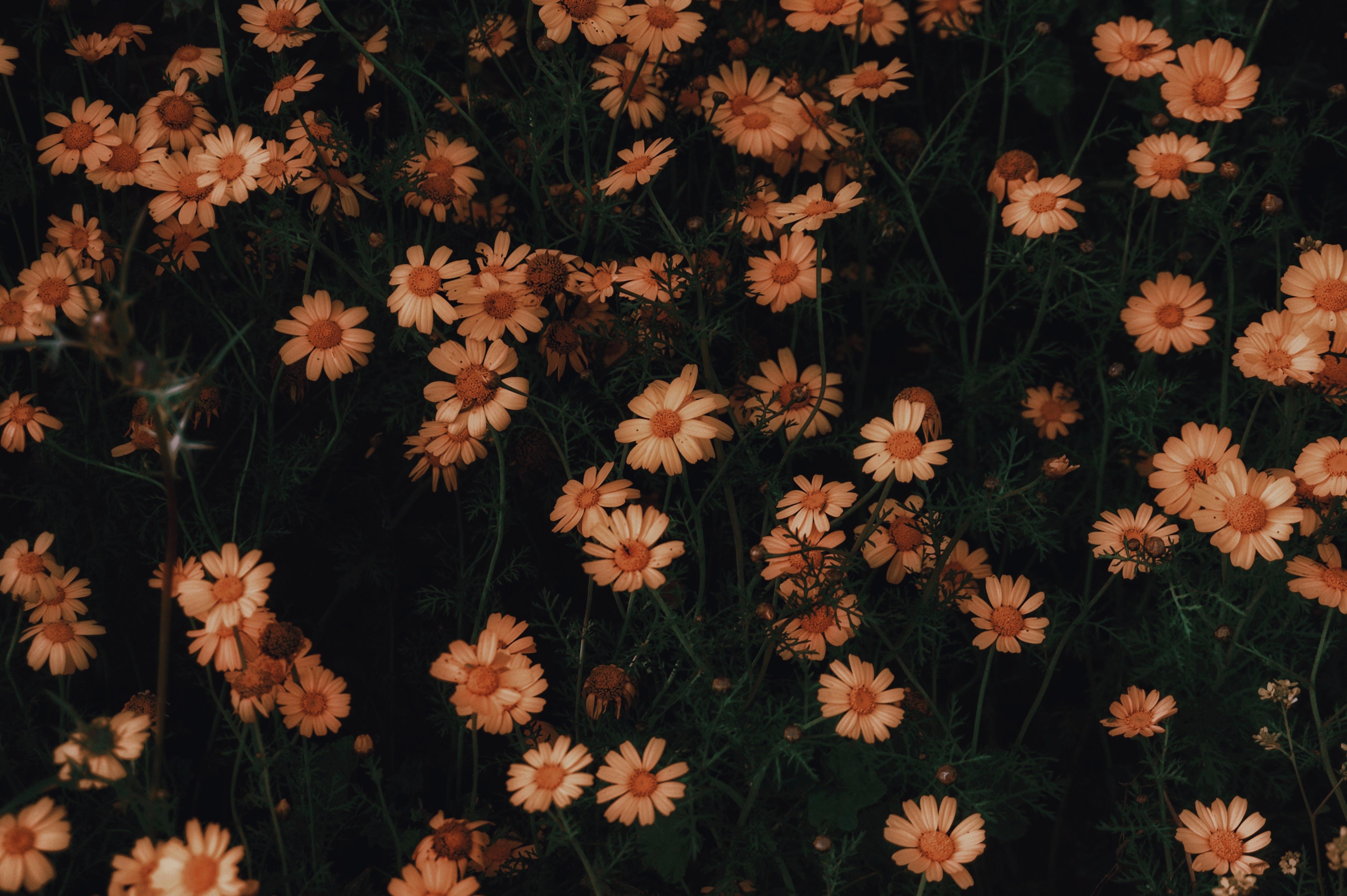 90963 скачать обои Цветы, Ромашки, Цветение, Растение - заставки и картинки бесплатно