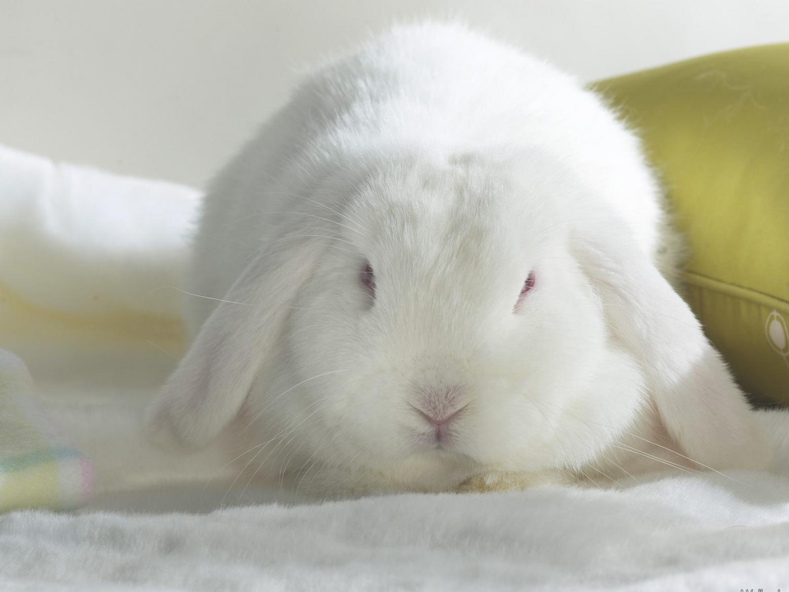 18938 descargar fondo de pantalla Animales, Conejos: protectores de pantalla e imágenes gratis