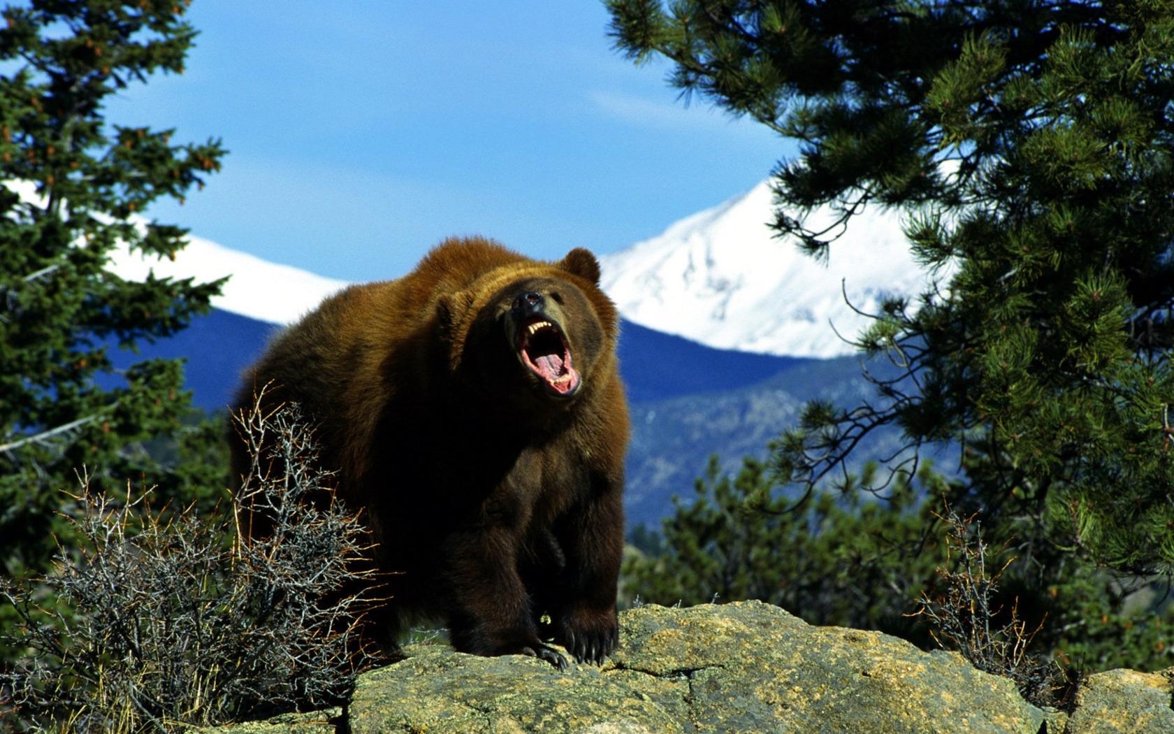 49518 Заставки и Обои Медведи на телефон. Скачать Медведи, Животные картинки бесплатно